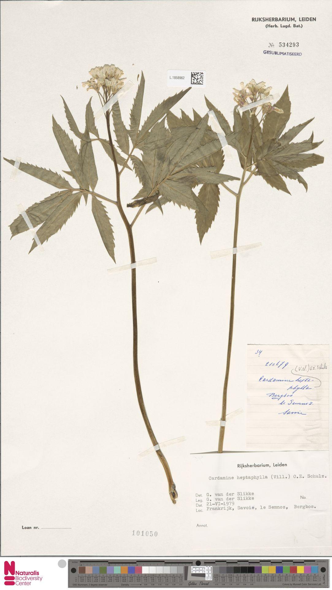 L.1858962   Cardamine heptaphylla (Vill.) O.E.Schulz