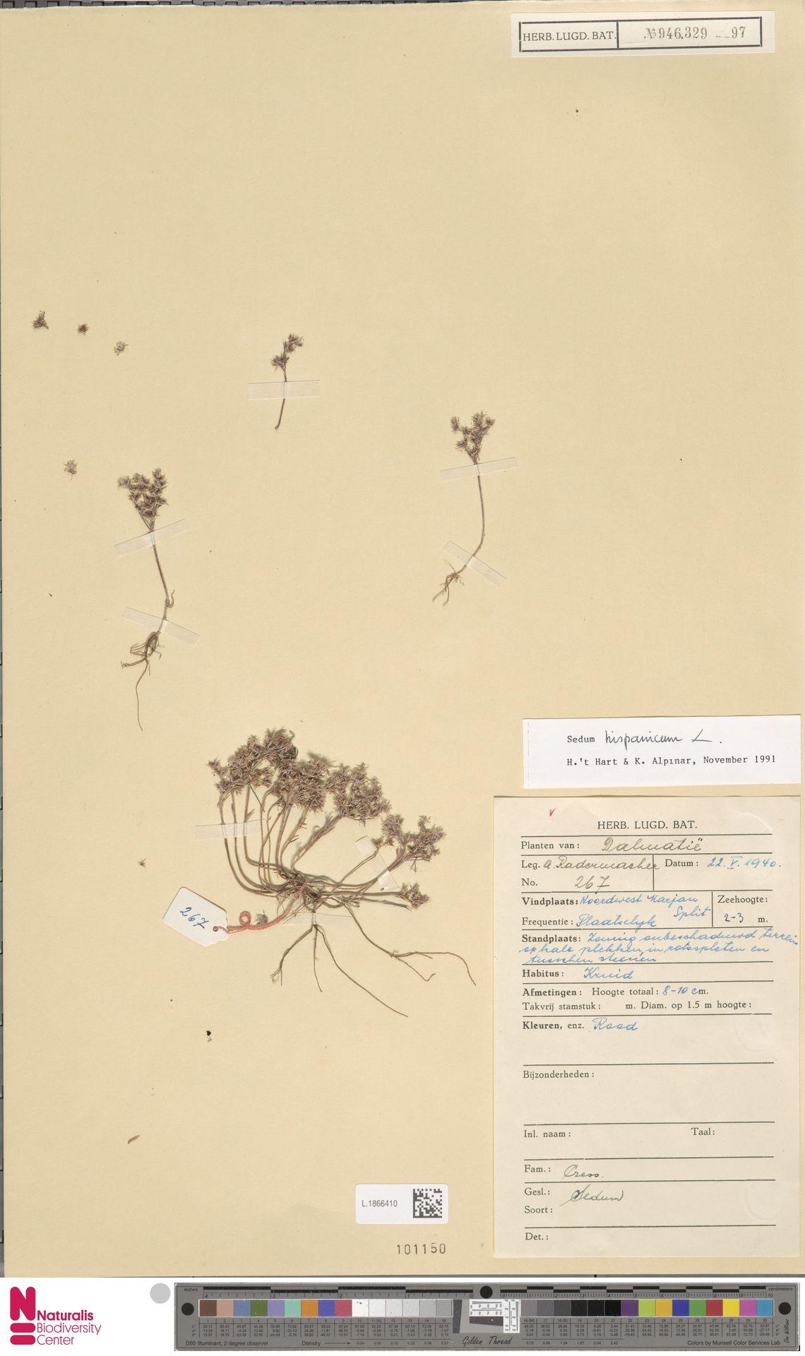 L.1866410 | Sedum hispanicum L.