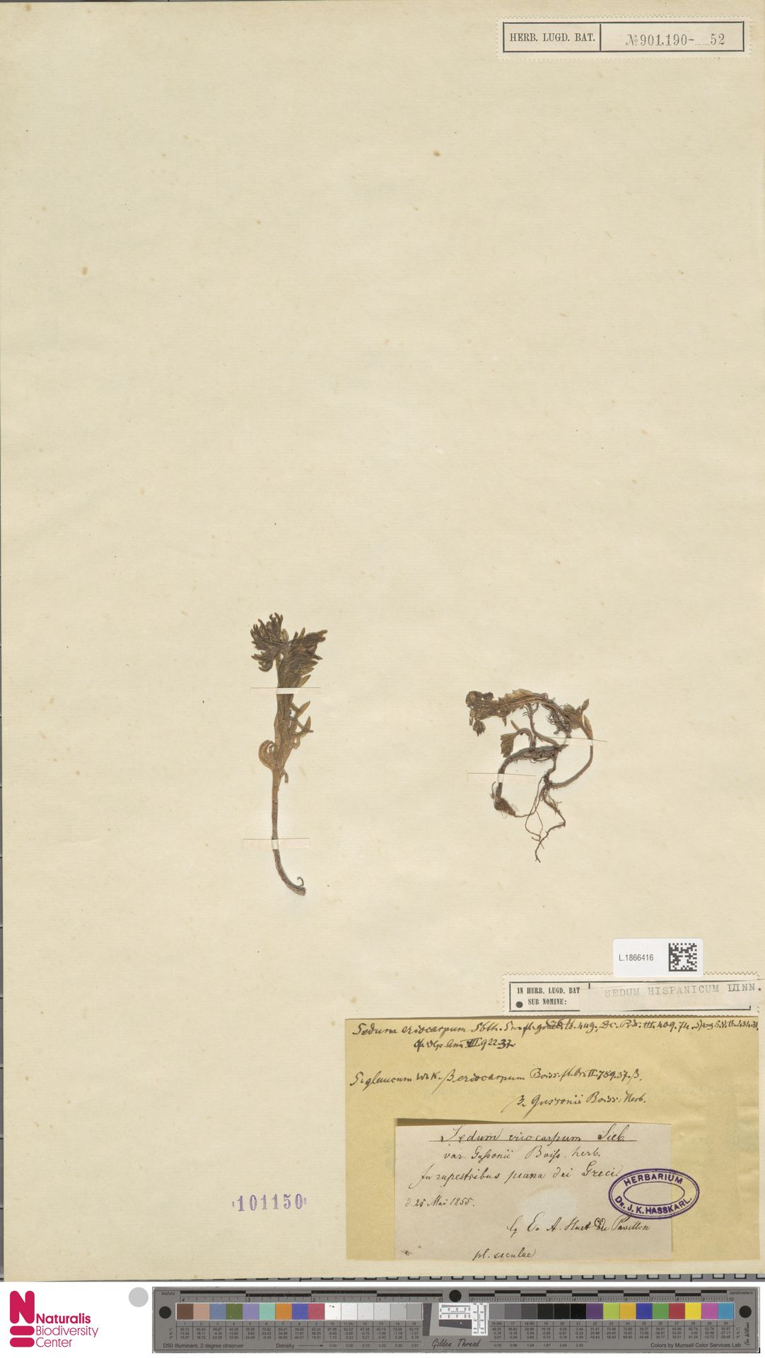 L.1866416 | Sedum hispanicum L.