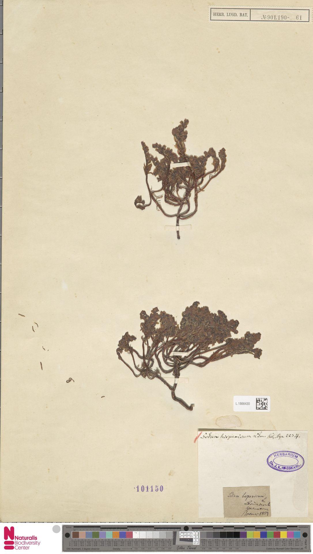 L.1866430 | Sedum hispanicum L.