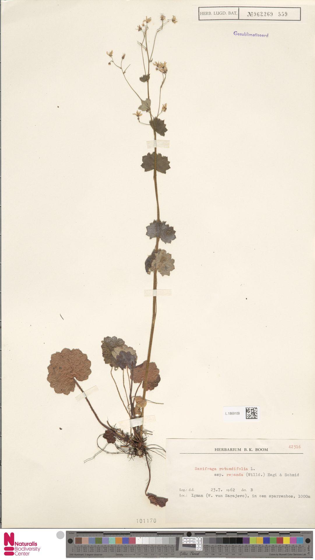 L.1869109   Saxifraga rotundifolia subsp. repanda