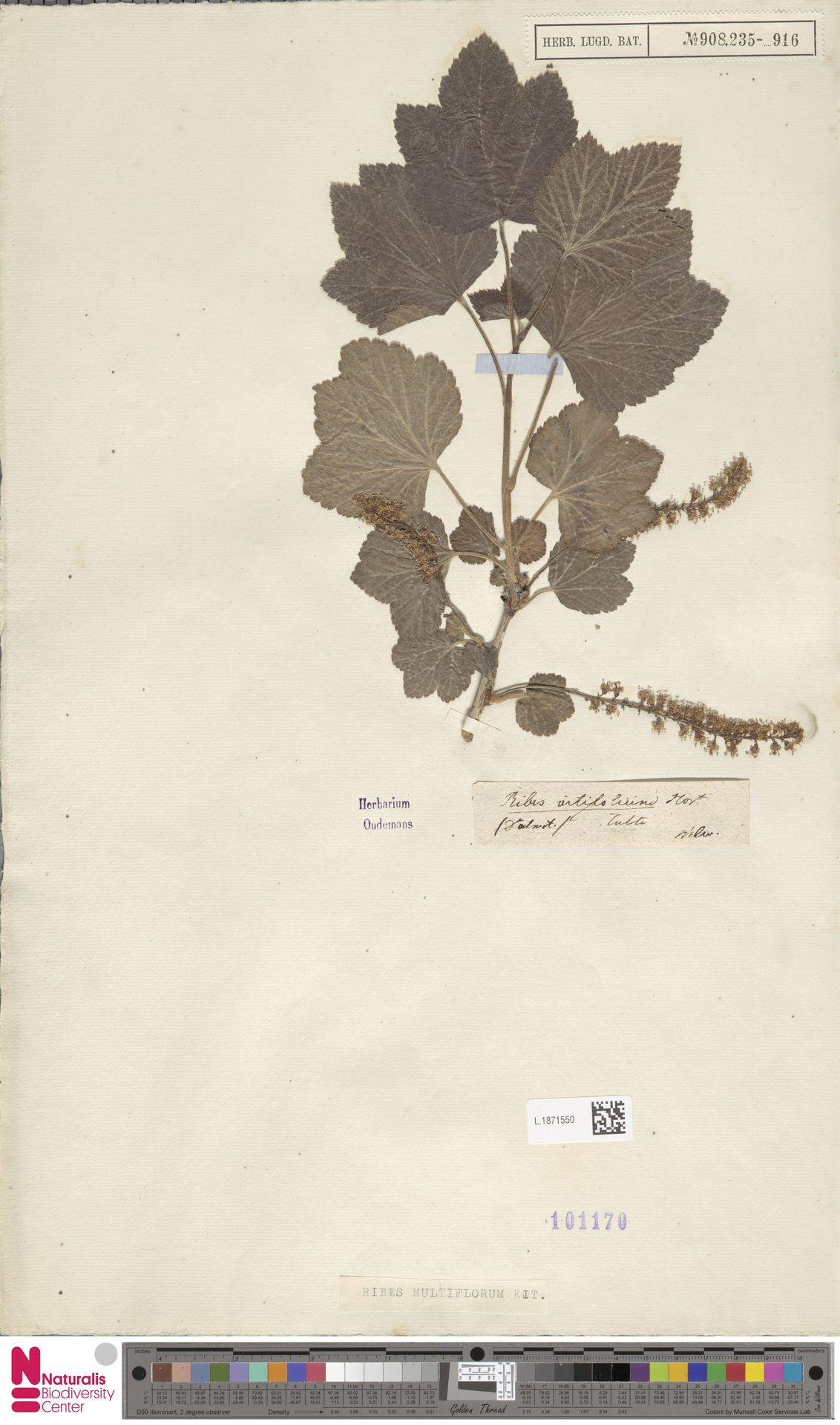L.1871550 | Ribes multiflorum Kit.