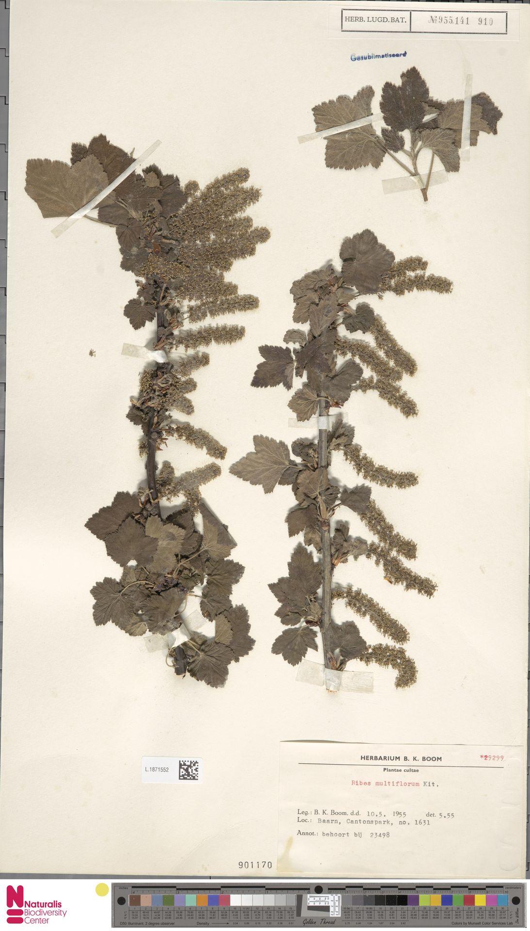 L.1871552 | Ribes multiflorum Kit.