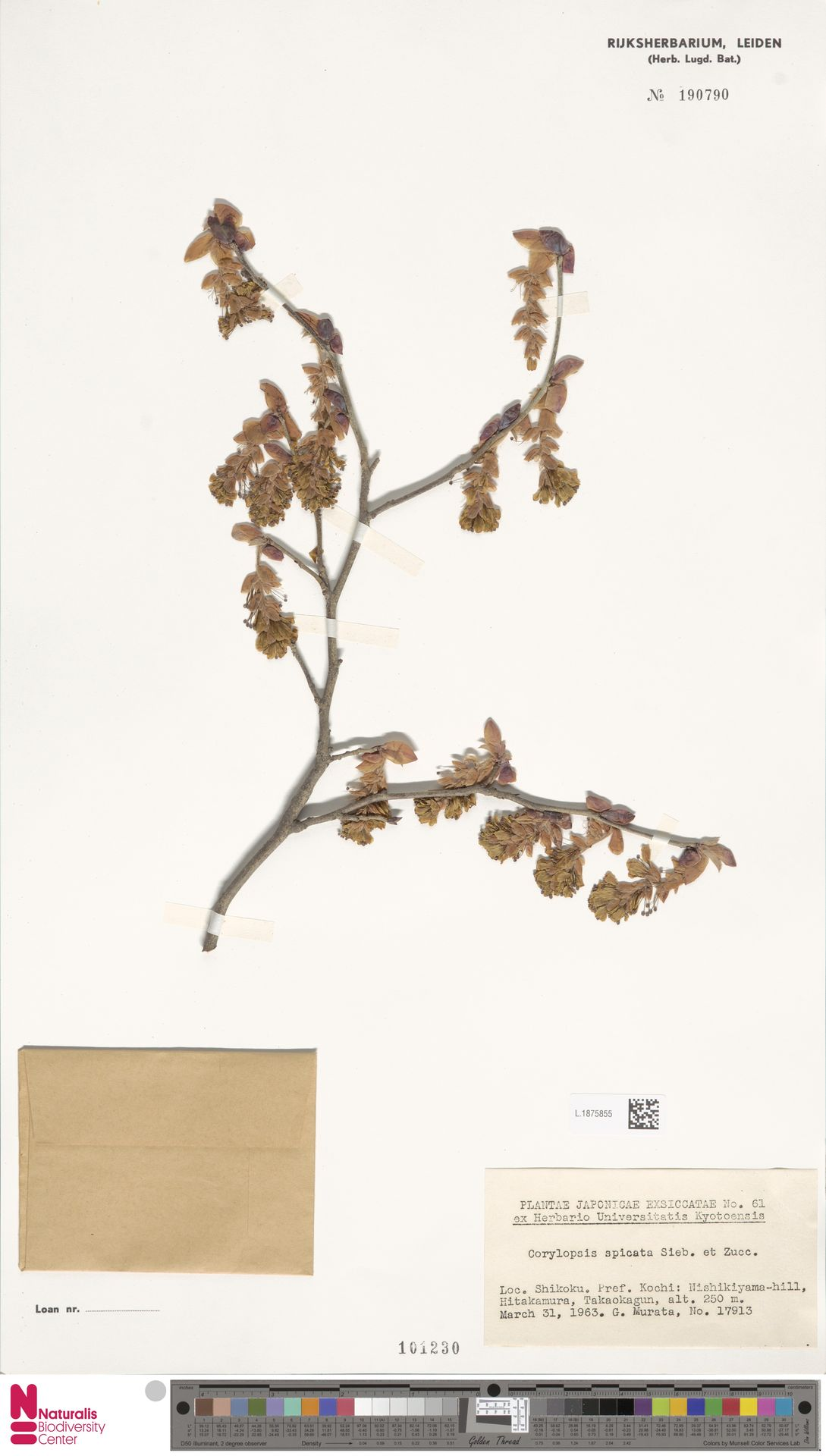L.1875855 | Corylopsis spicata Siebold & Zucc.