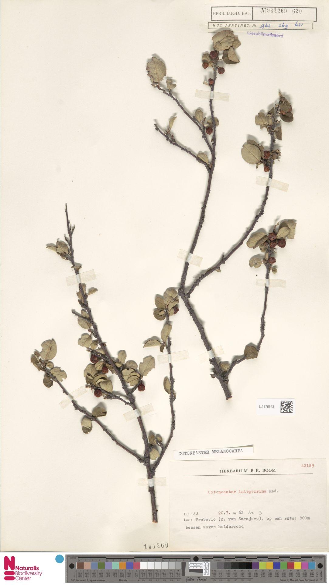 L.1876653 | Cotoneaster melanocarpus Fisch. ex A.Blytt