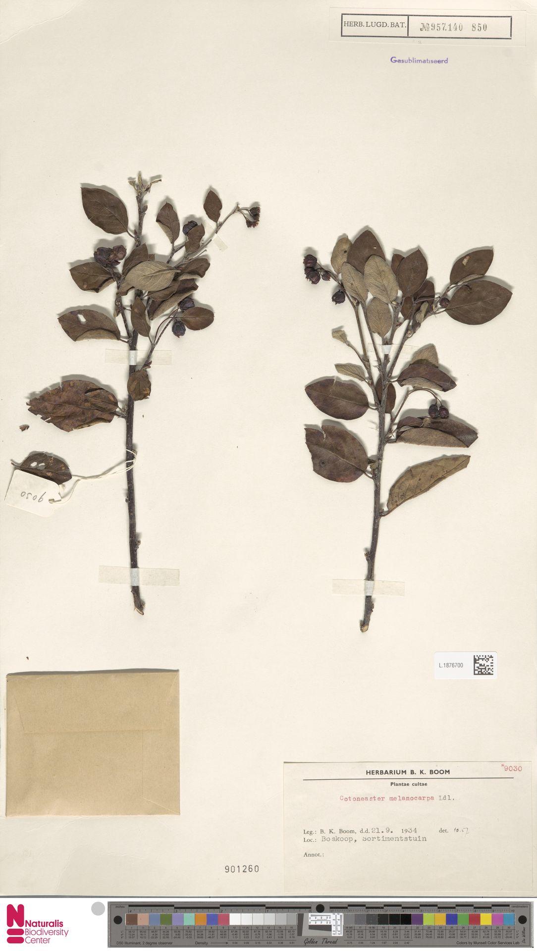 L.1876700 | Cotoneaster melanocarpus Fisch. ex A.Blytt