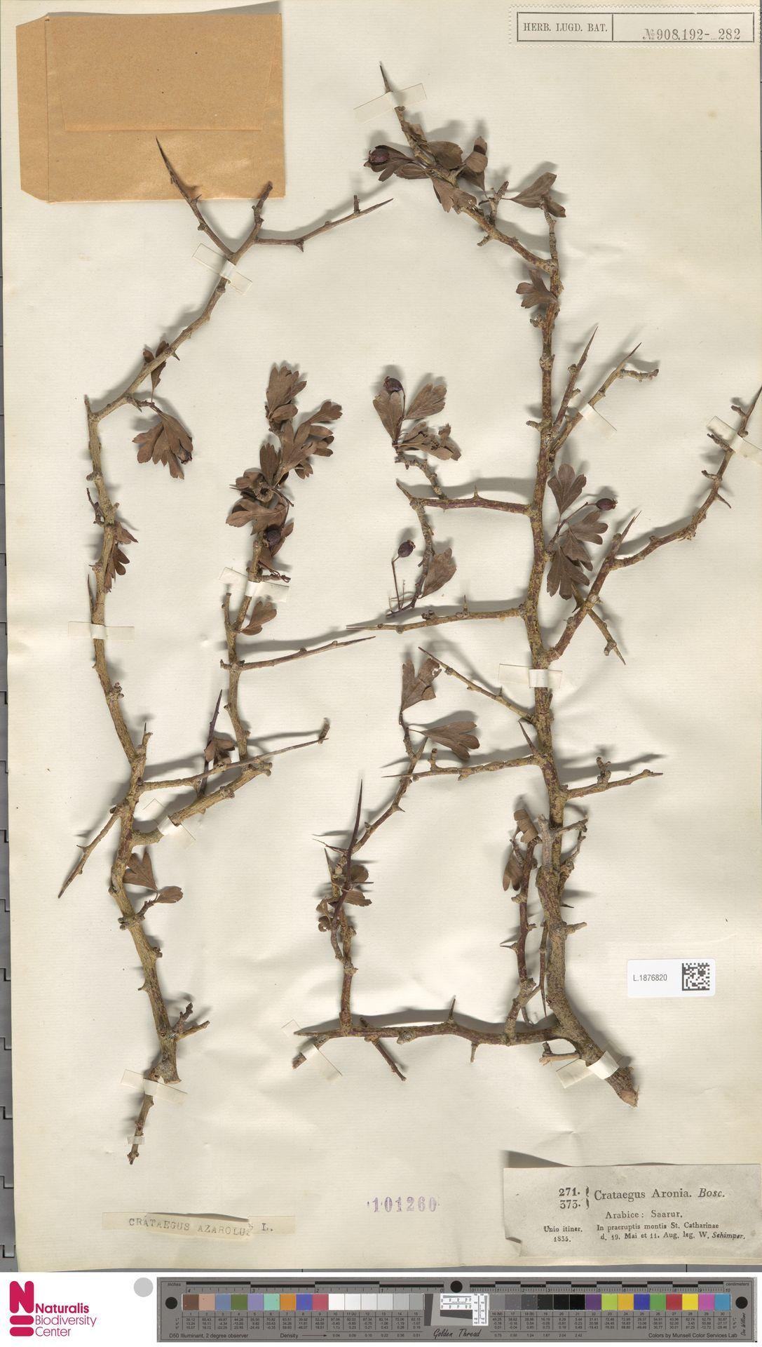 L.1876820 | Crataegus azarolus L.
