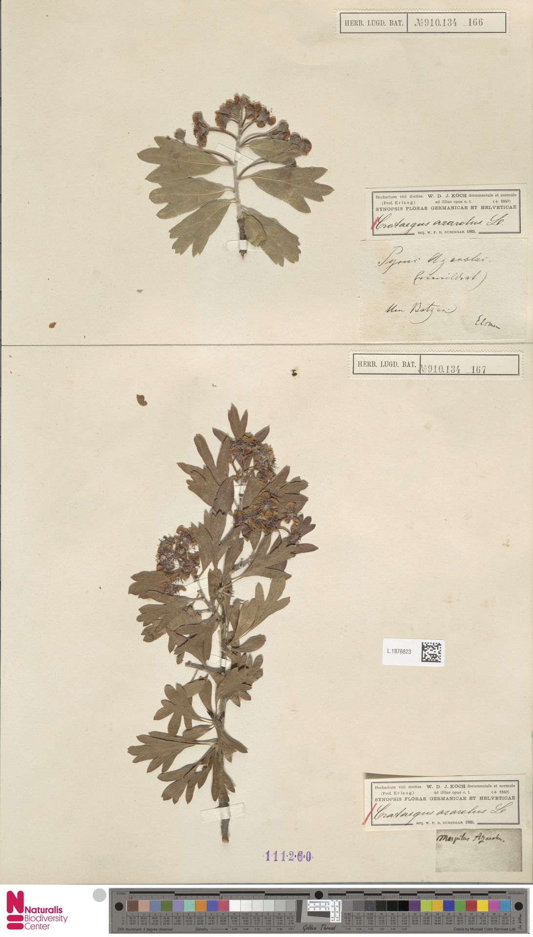L.1876823 | Crataegus azarolus L.