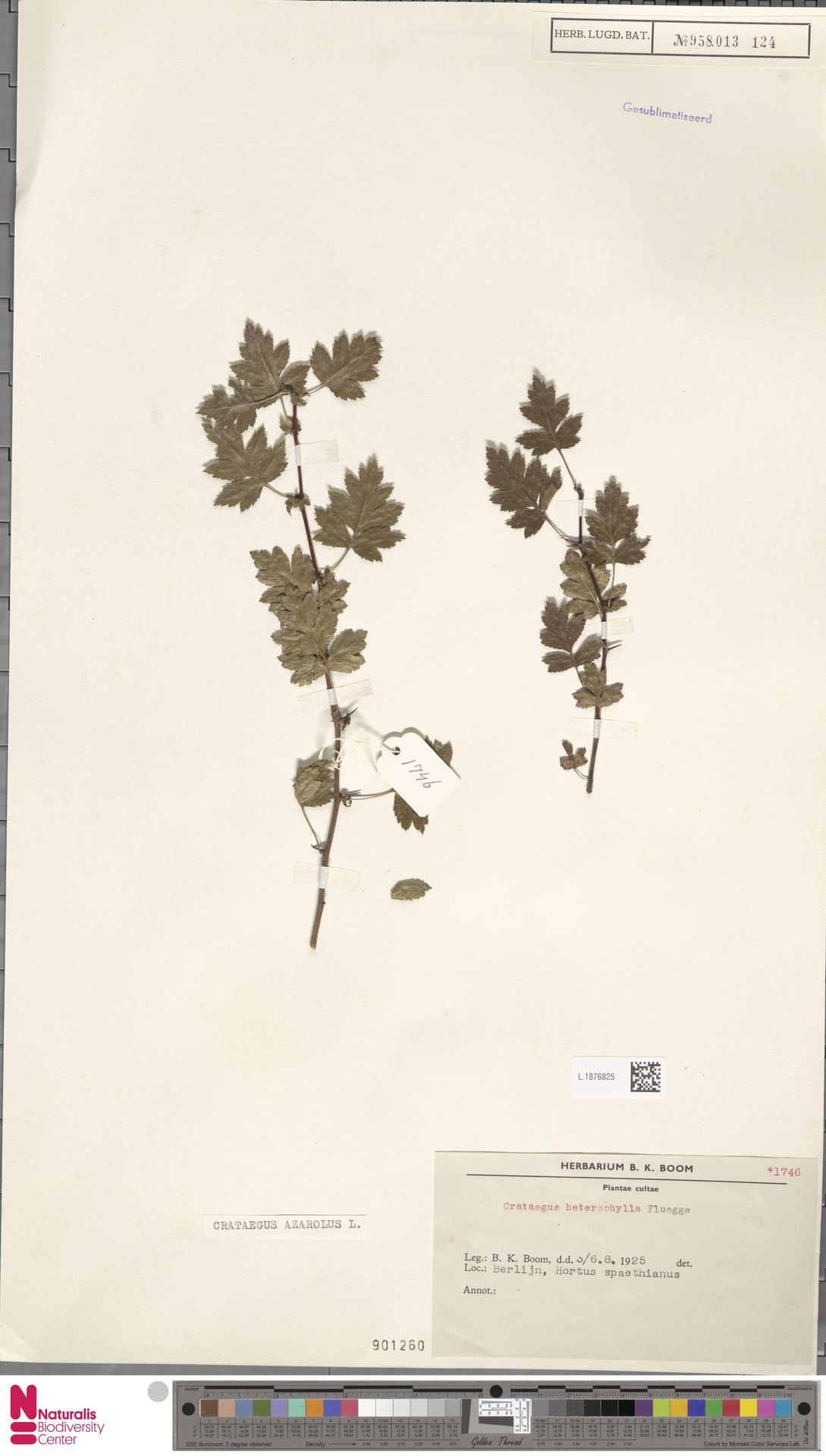 L.1876825 | Crataegus azarolus L.