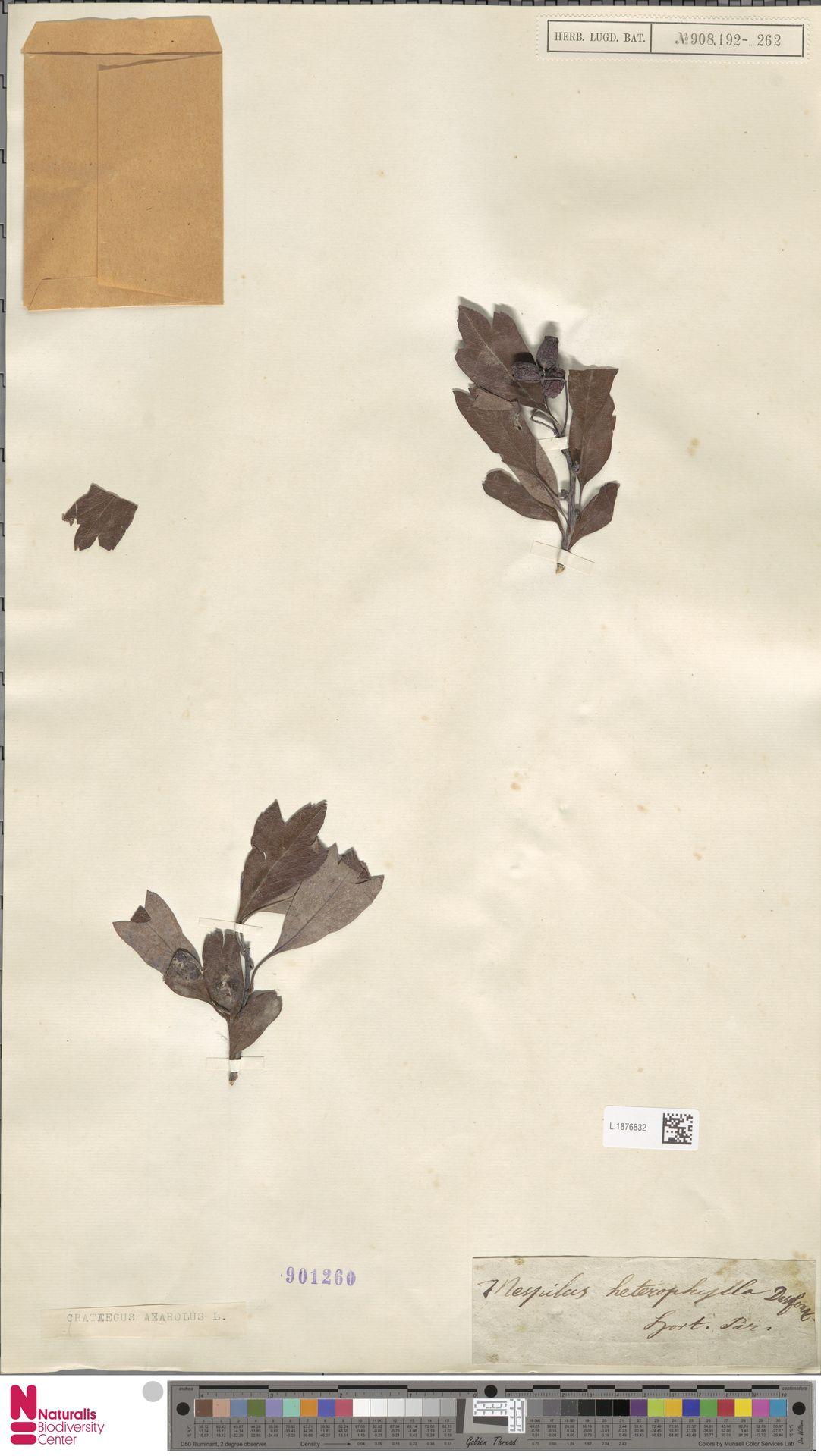 L.1876832 | Crataegus azarolus L.