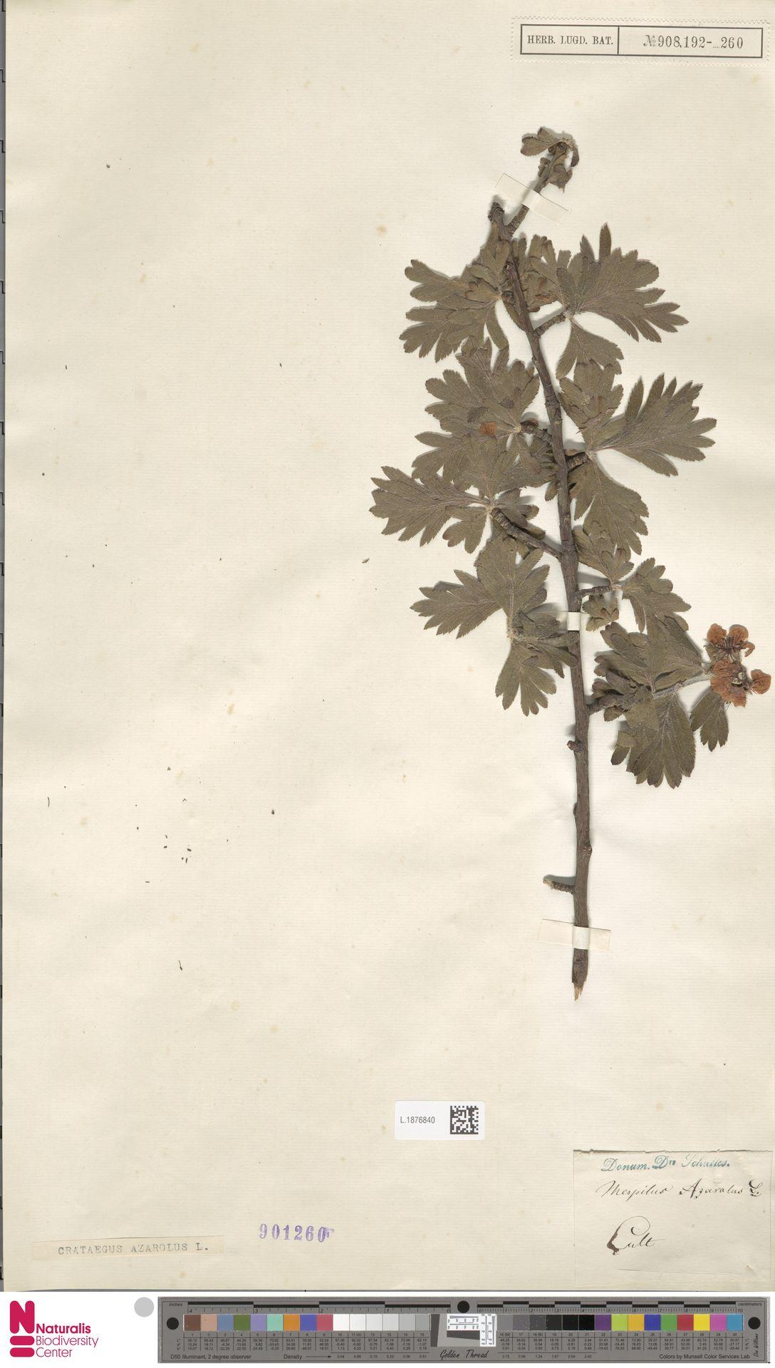 L.1876840   Crataegus azarolus L.