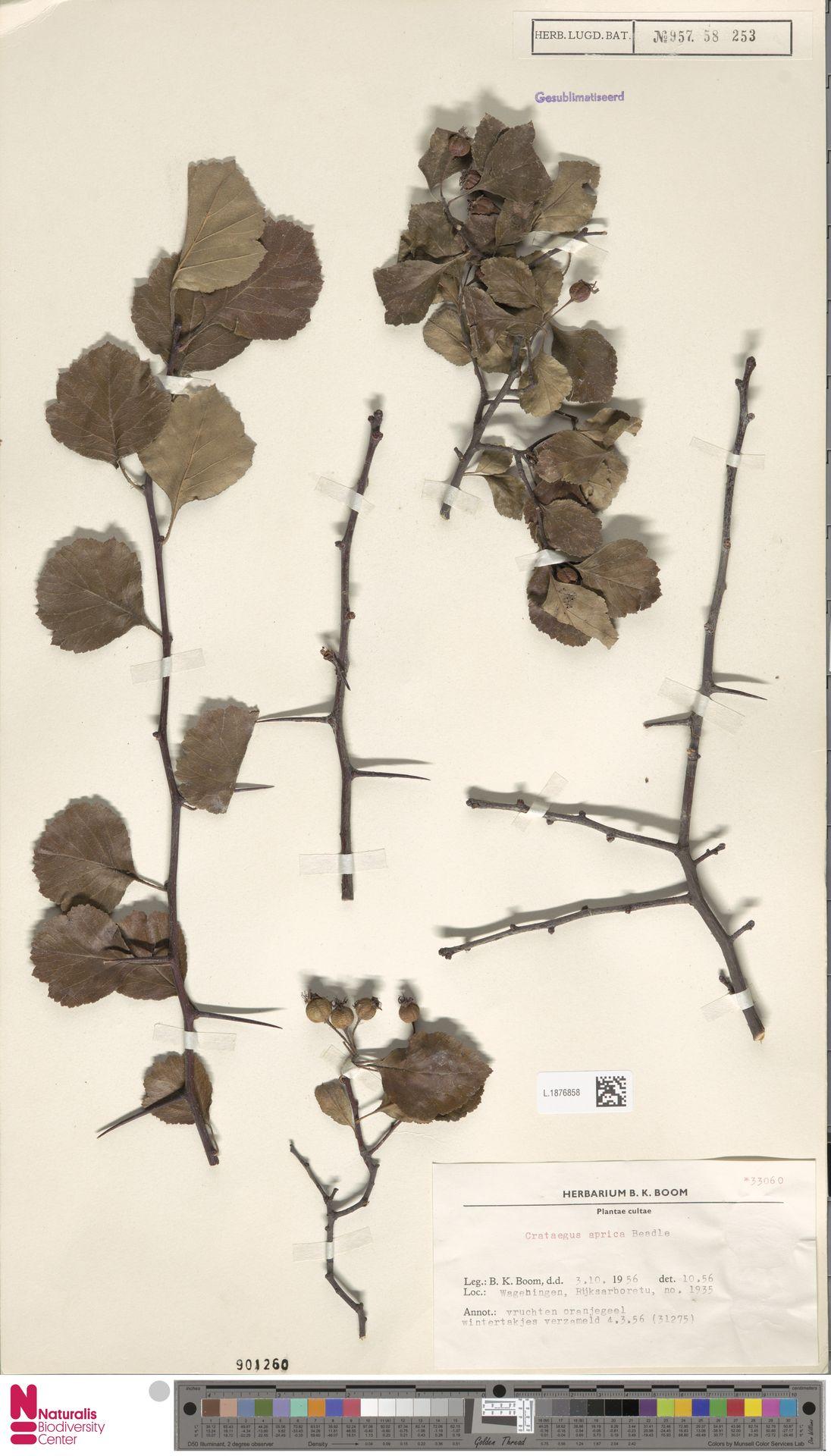 L.1876858 | Crataegus aprica Beadle