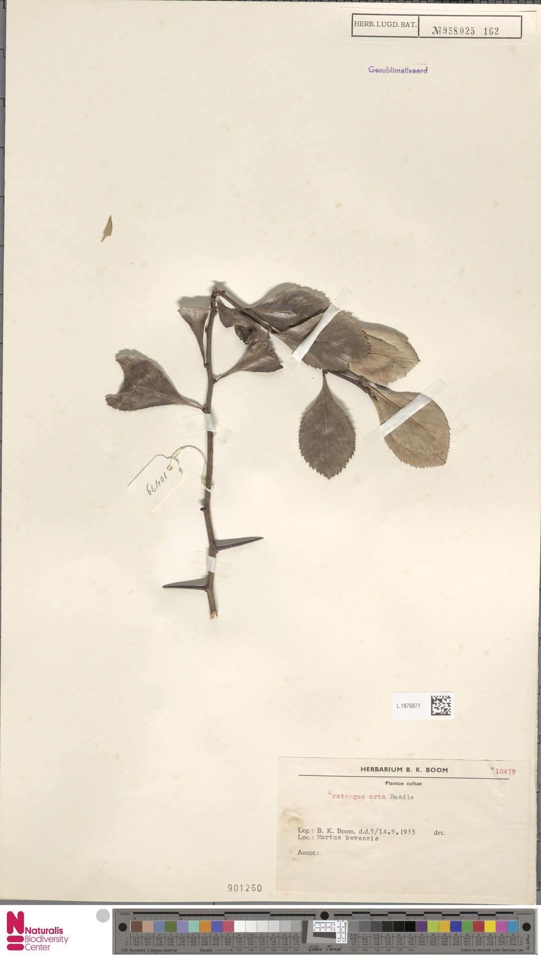 L.1876871 | Crataegus arta Beadle
