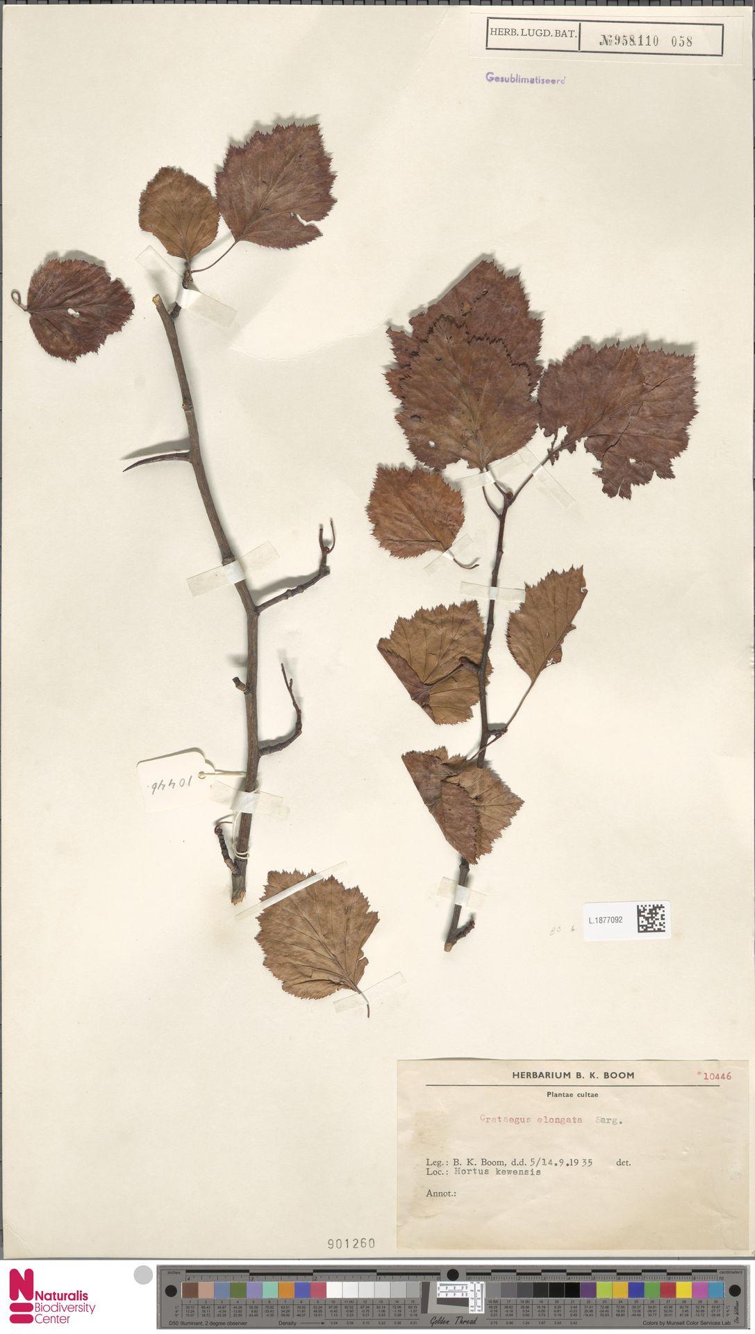 L.1877092   Crataegus elongata Sarg.