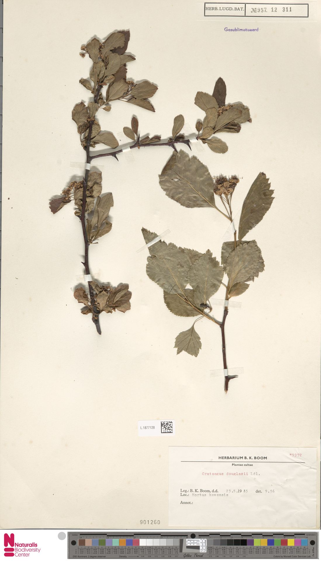 L.1877128 | Crataegus douglasii Lindl.