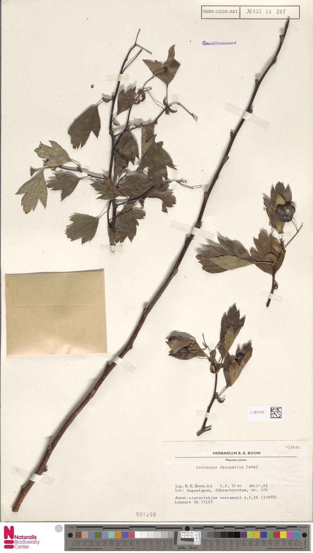 L.1877141 | Crataegus dsungarica Zabel ex Lange