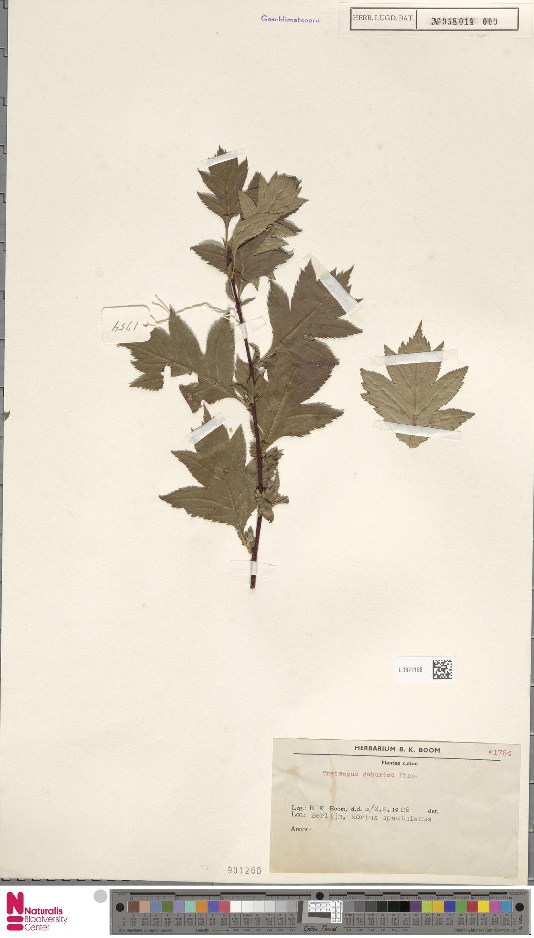 L.1877158   Crataegus dahurica Koehne ex C.K.Schneid.