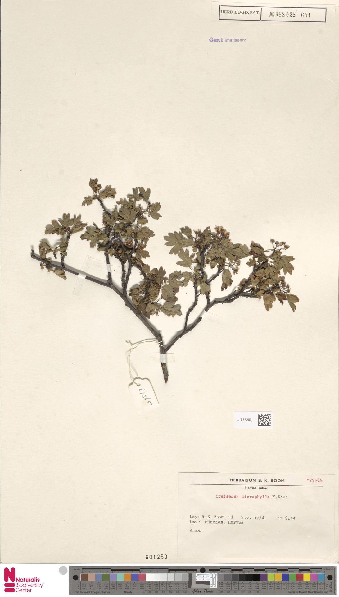 L.1877283 | Crataegus microphylla C.Koch