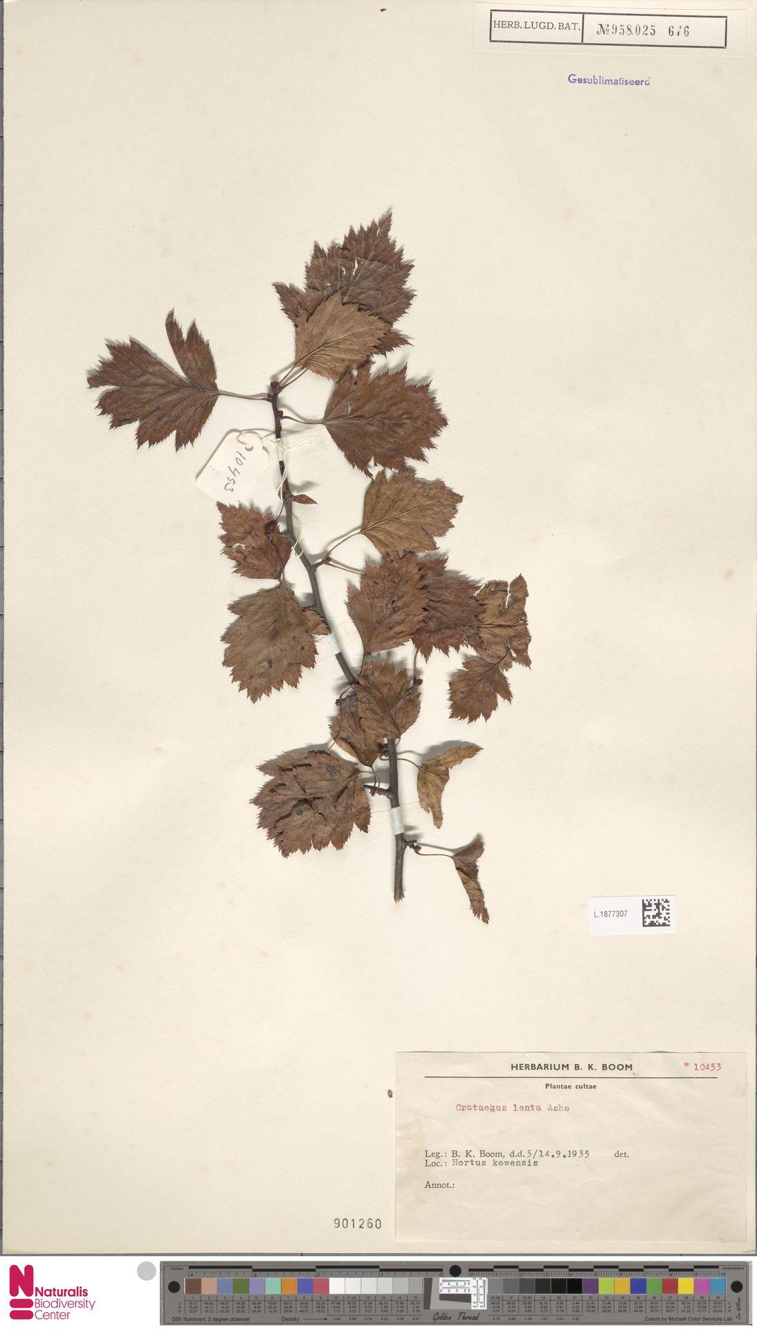 L.1877307   Crataegus lenta Ashe