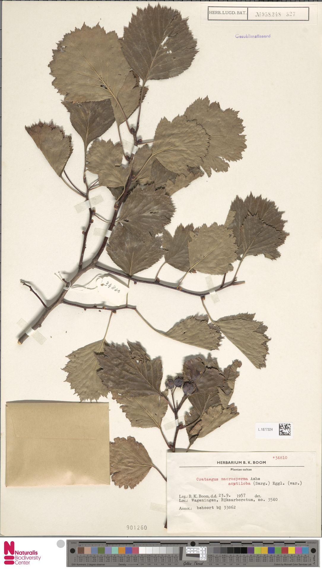 L.1877324 | Crataegus macrosperma Ashe