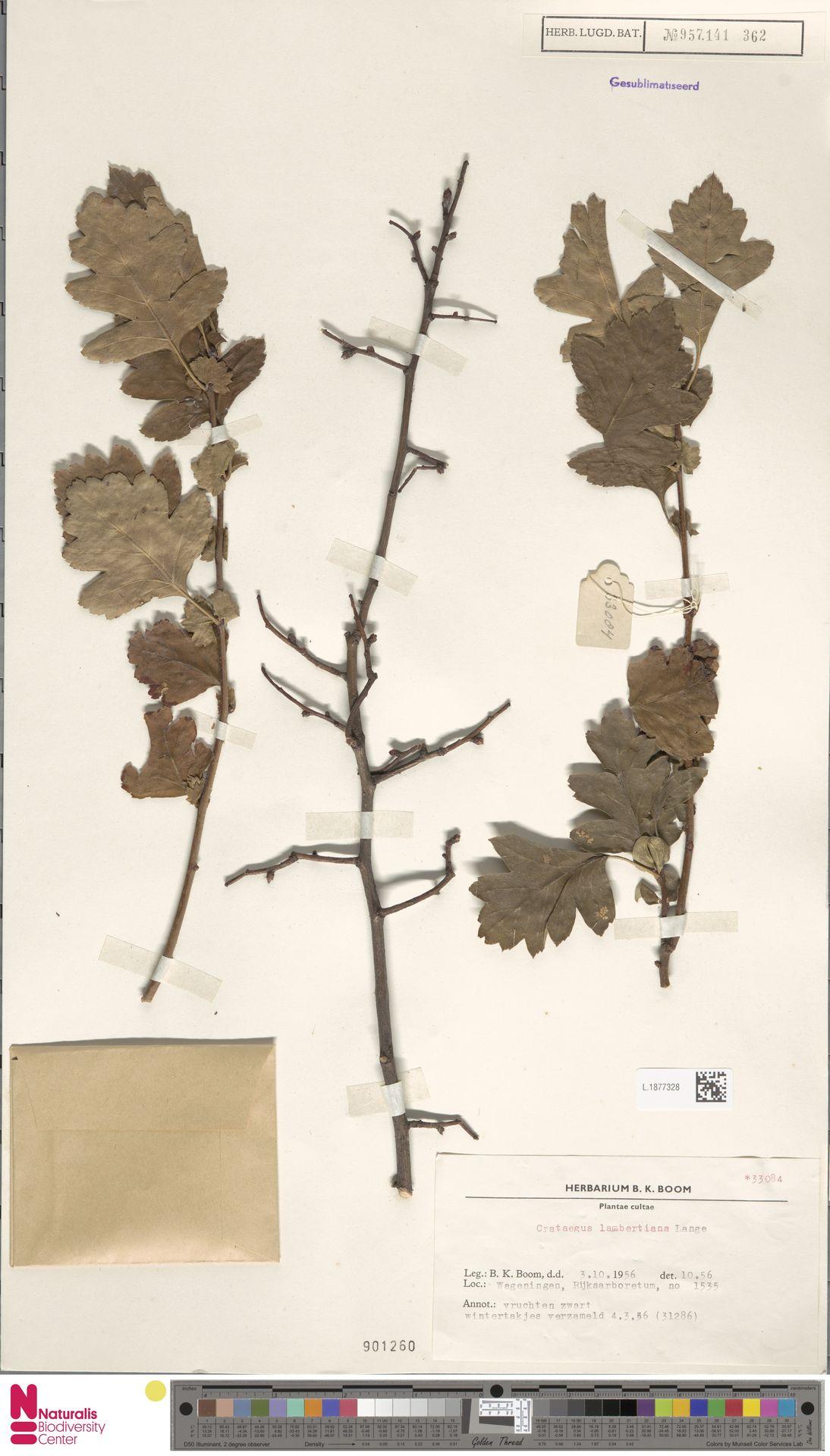 L.1877328 | Crataegus lambertiana Hort. ex Lange