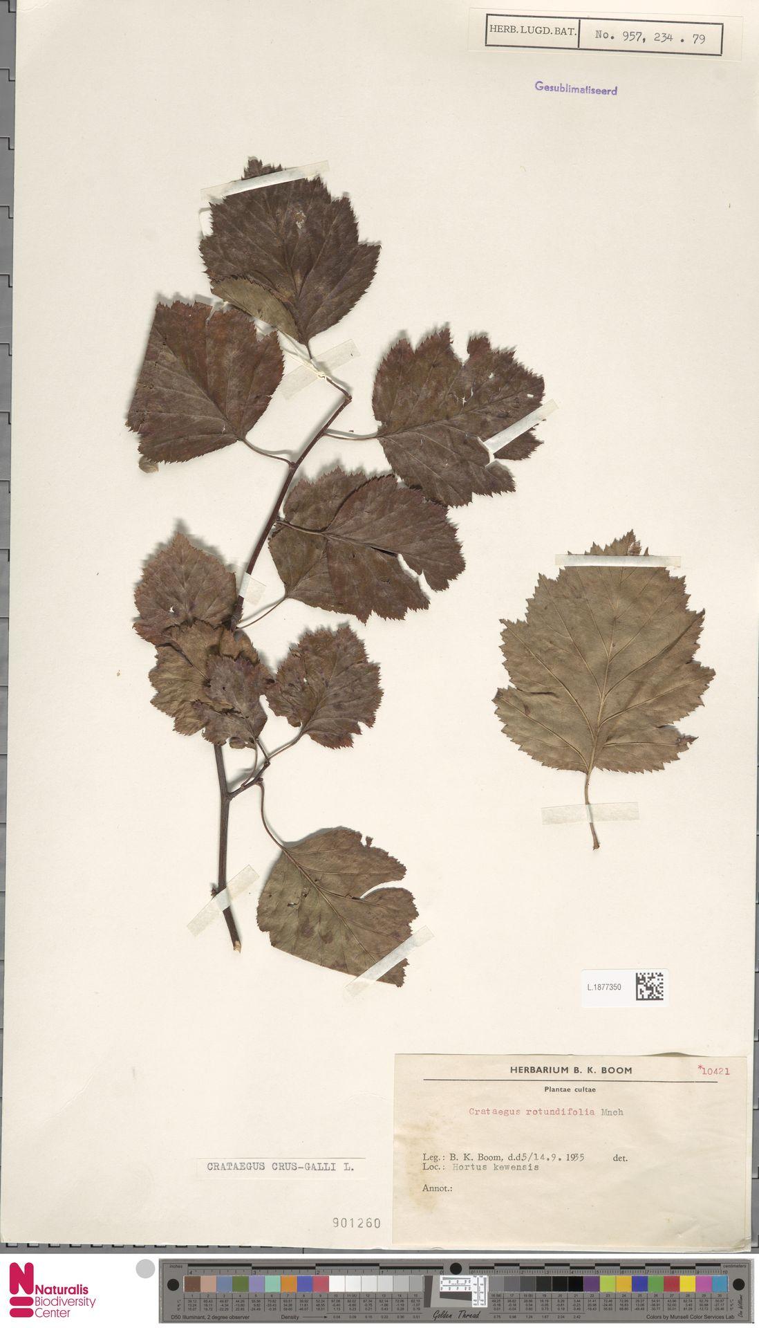 L.1877350 | Crataegus crus-galli L.
