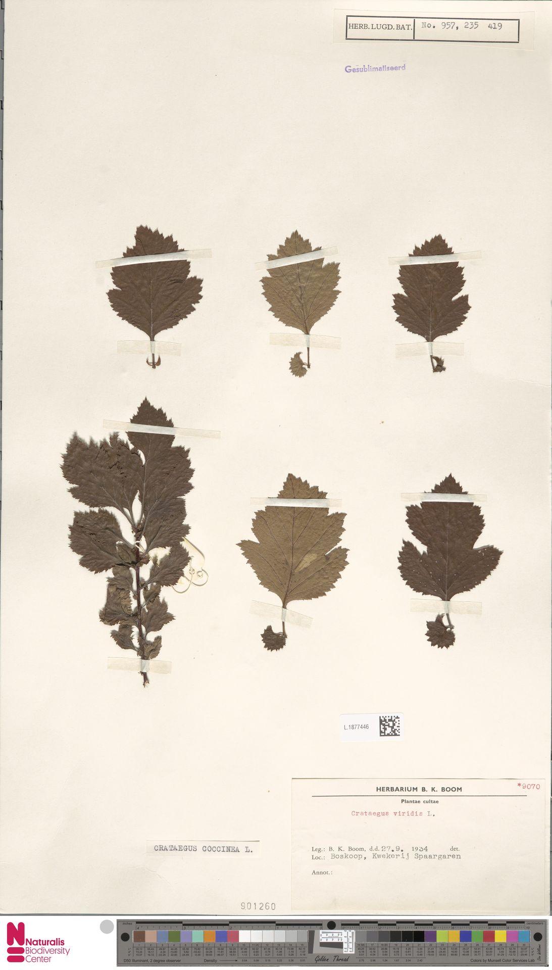 L.1877446 | Crataegus coccinea L.