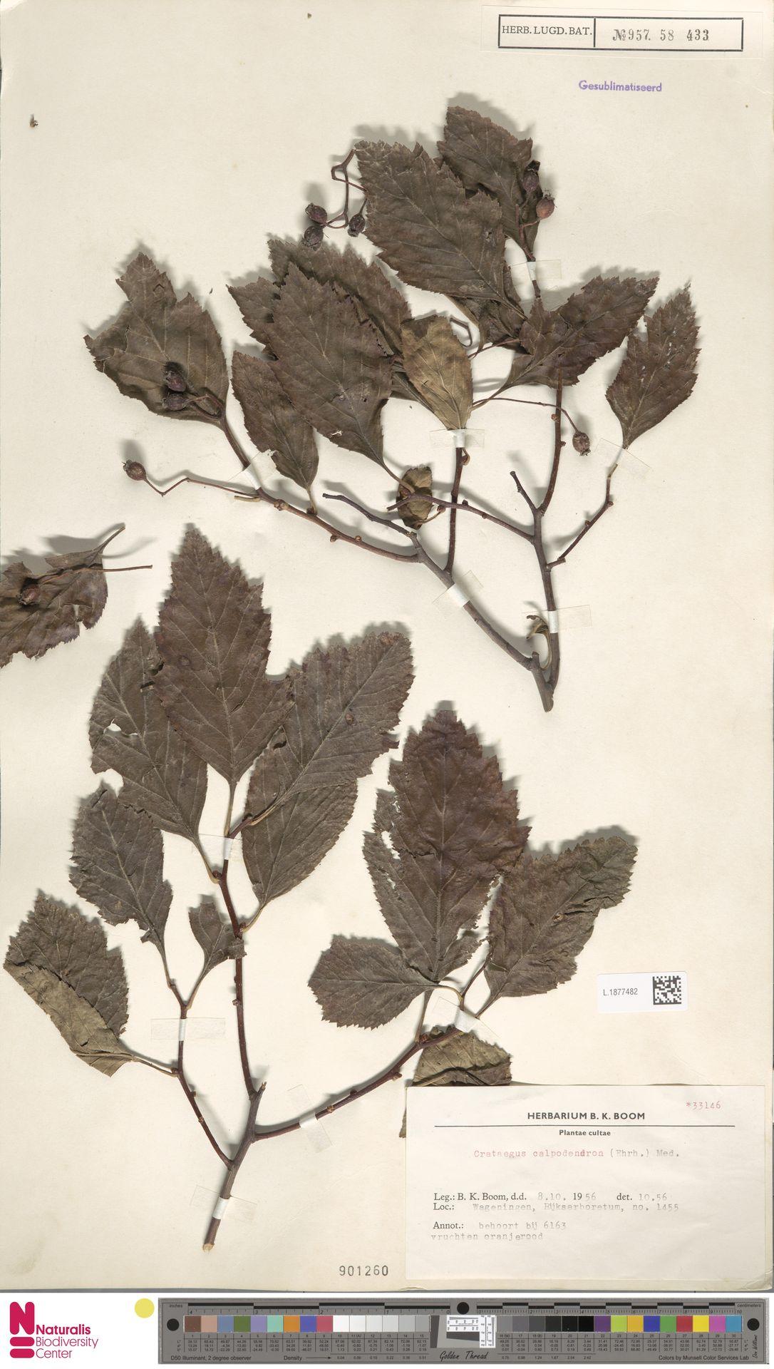 L.1877482 | Crataegus calpodendron (Ehrh.) Medik.