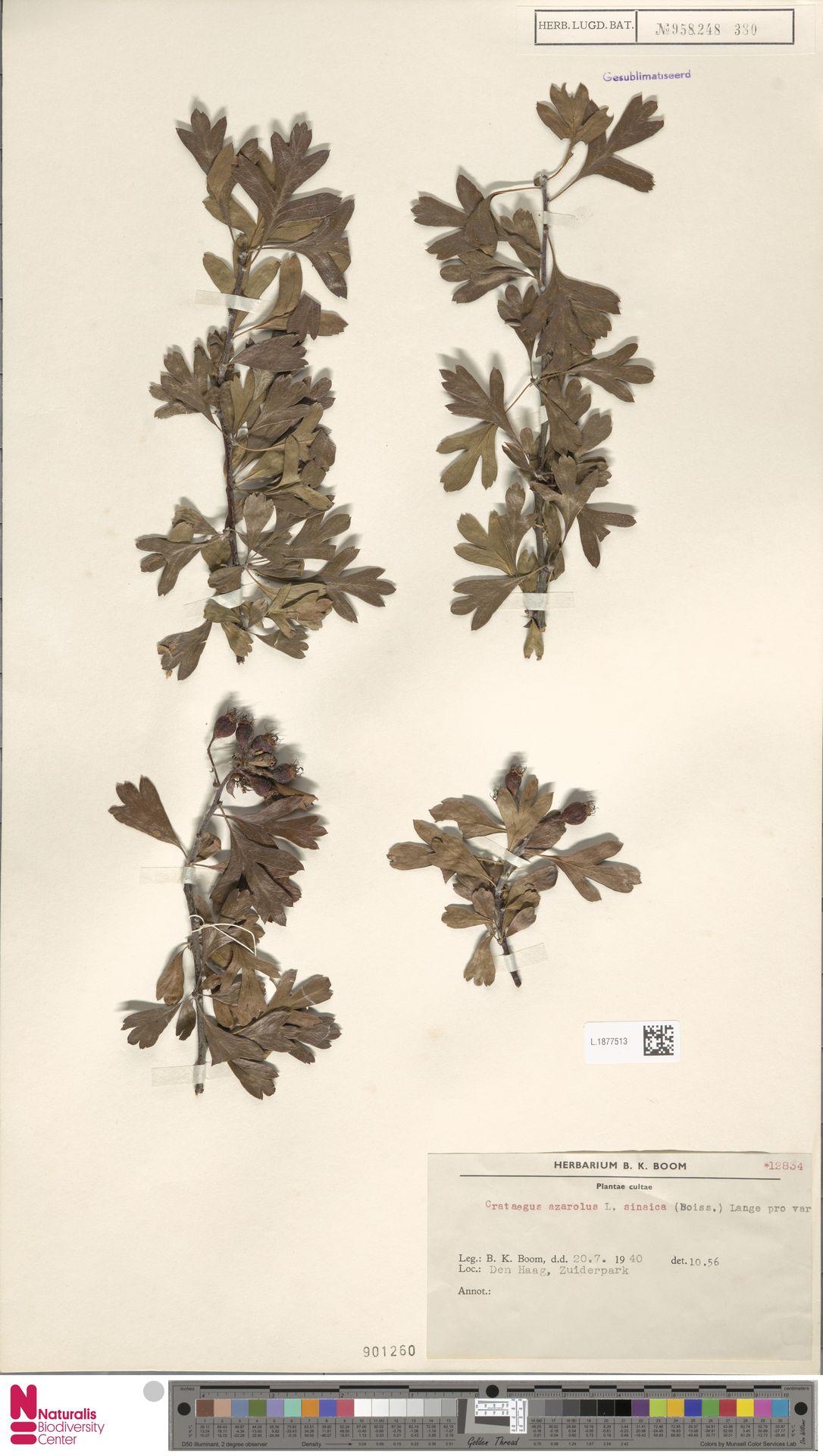 L.1877513 | Crataegus azarolus L.
