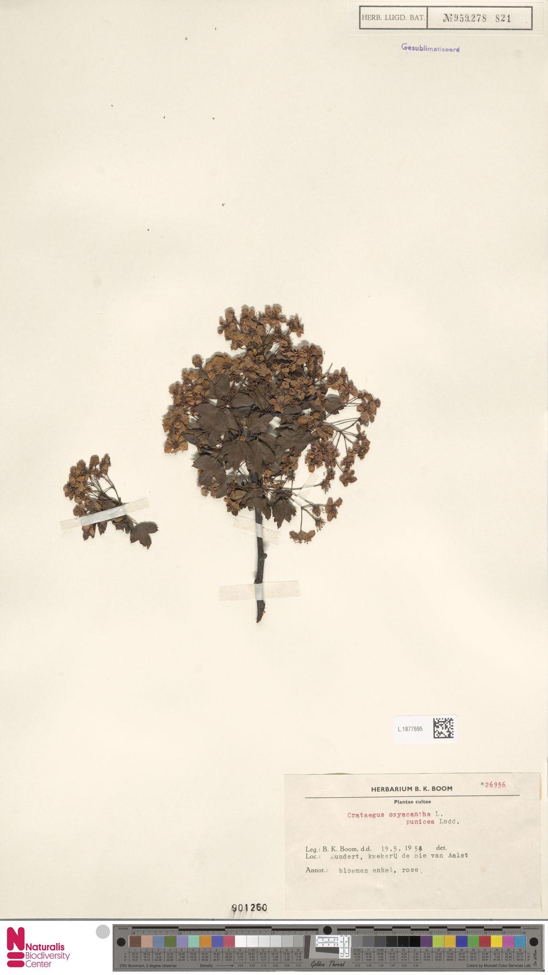 L.1877695 | Crataegus oxyacantha var. punicea Lodd.