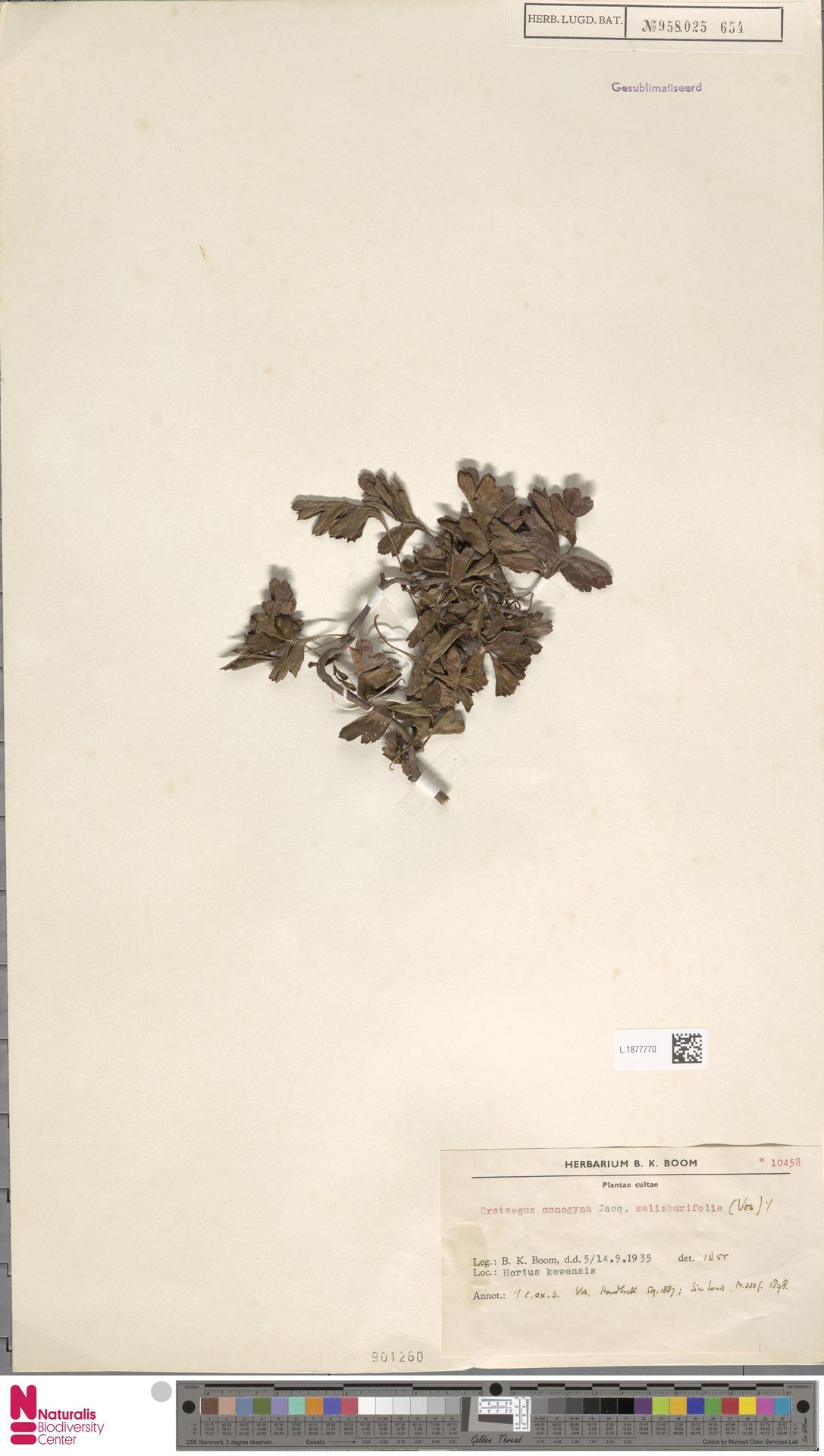 L.1877770   Crataegus monogyna Jacq.
