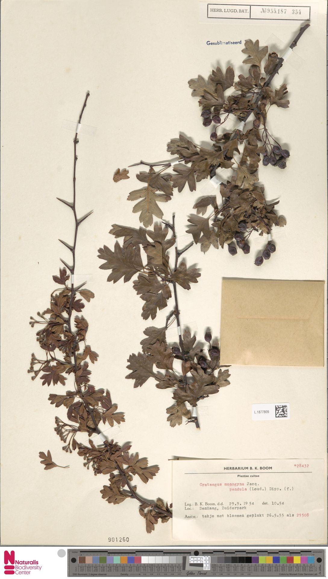 L.1877809 | Crataegus monogyna f. pendula Dippel