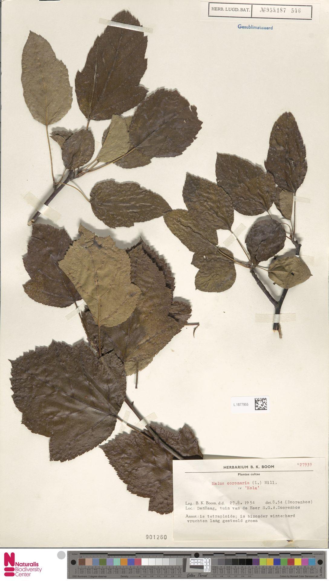 L.1877955 | Malus coronaria (L.) Mill.