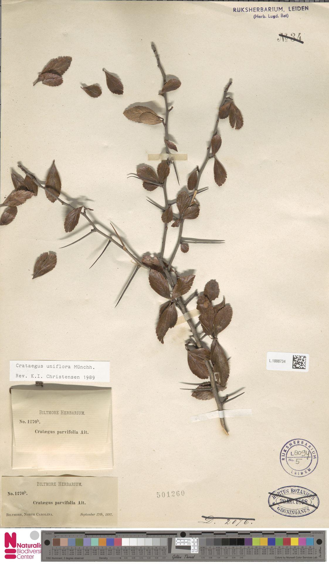 L.1888734 | Crataegus uniflora Münchh.