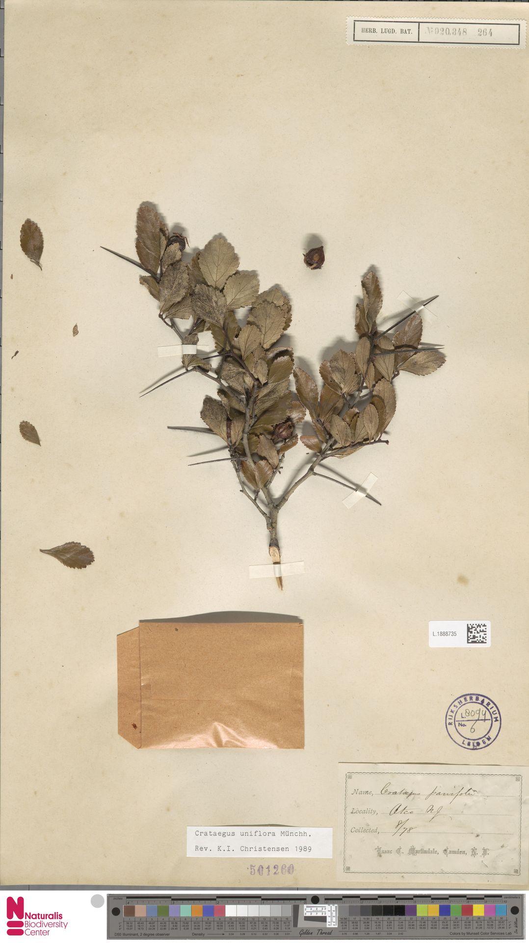 L.1888735 | Crataegus uniflora Münchh.