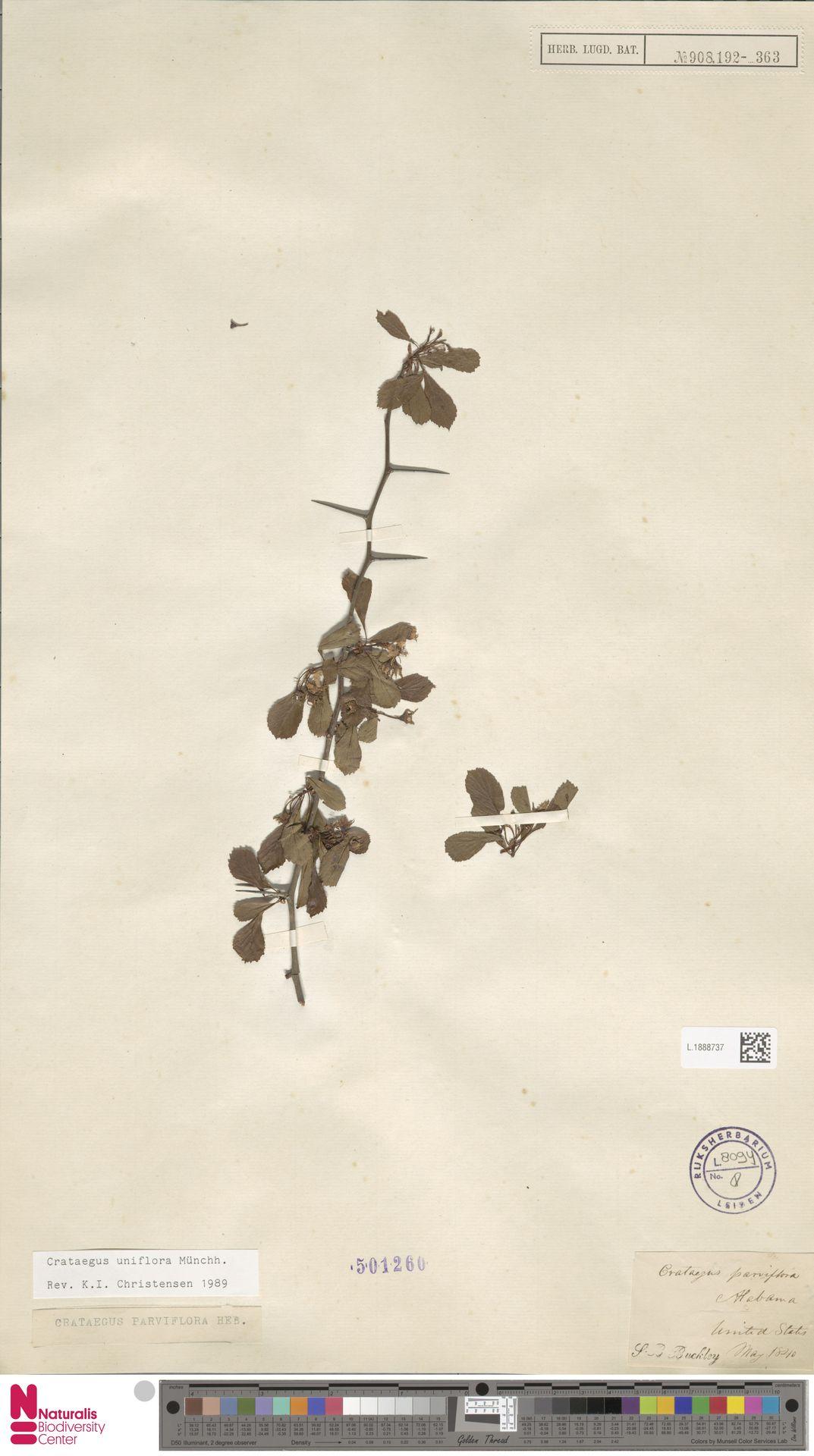 L.1888737 | Crataegus uniflora Münchh.