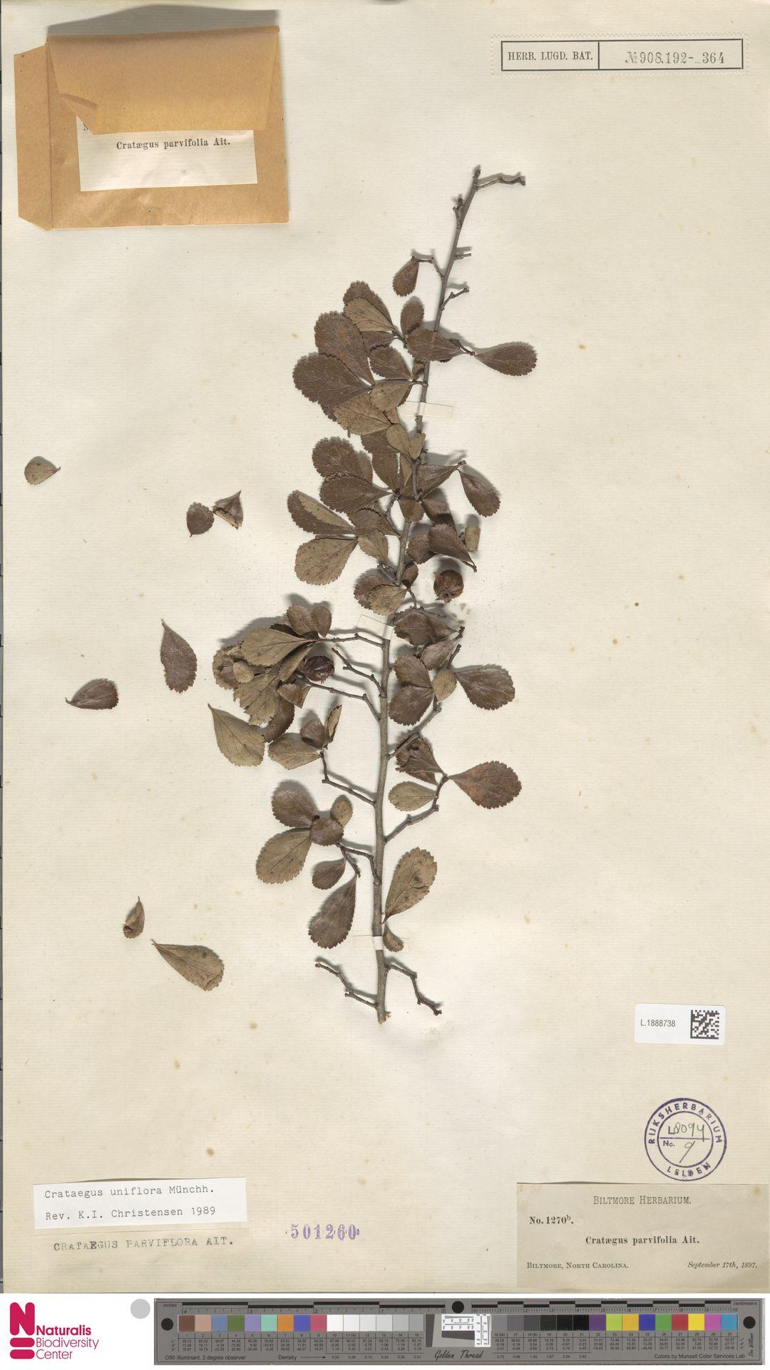 L.1888738 | Crataegus uniflora Münchh.