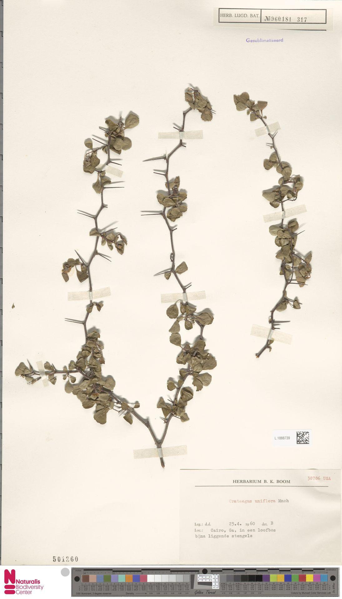 L.1888739 | Crataegus uniflora Münchh.