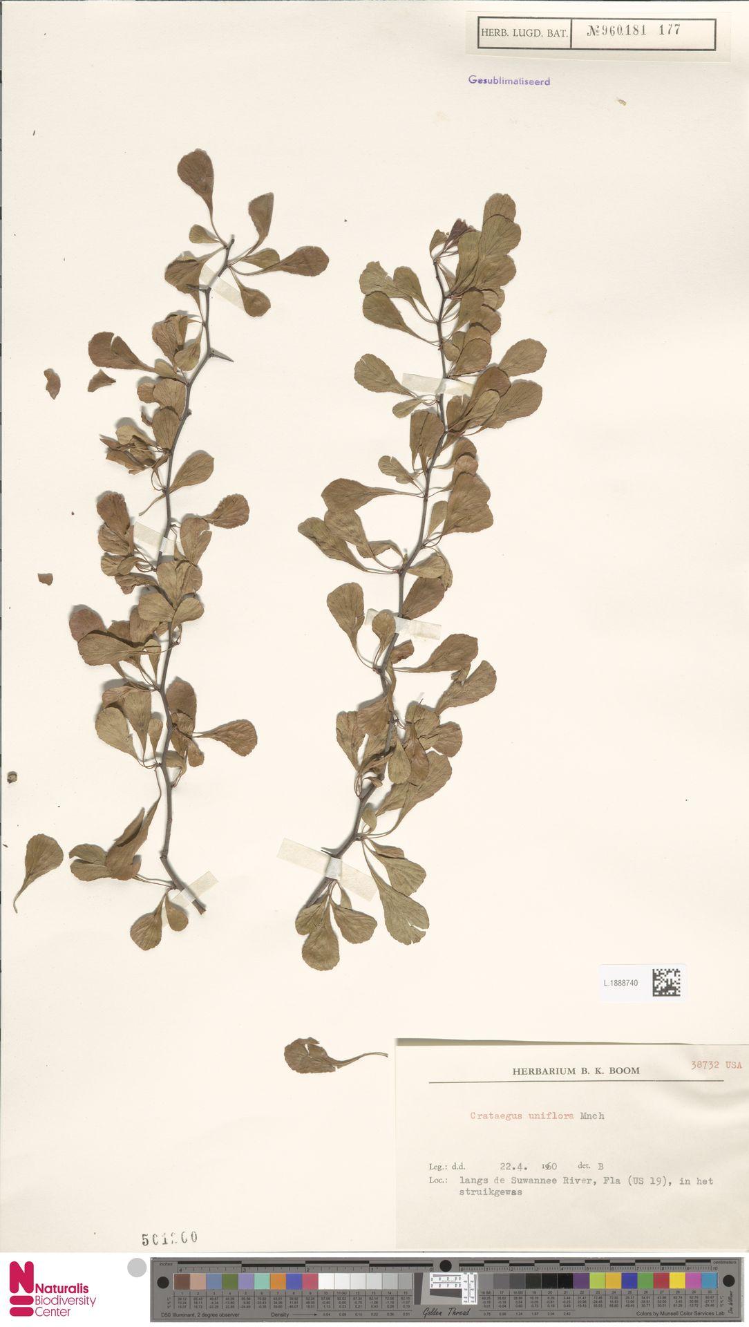 L.1888740 | Crataegus uniflora Münchh.