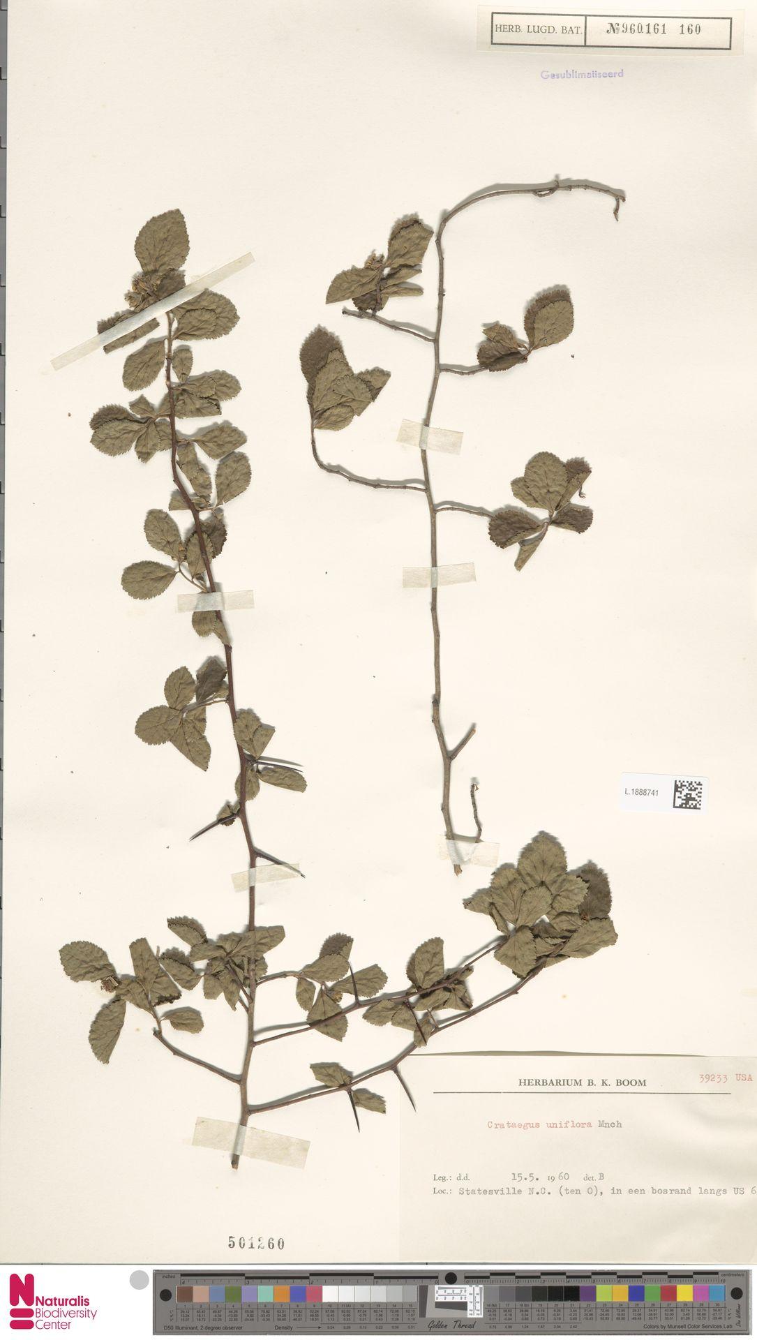 L.1888741 | Crataegus uniflora Münchh.