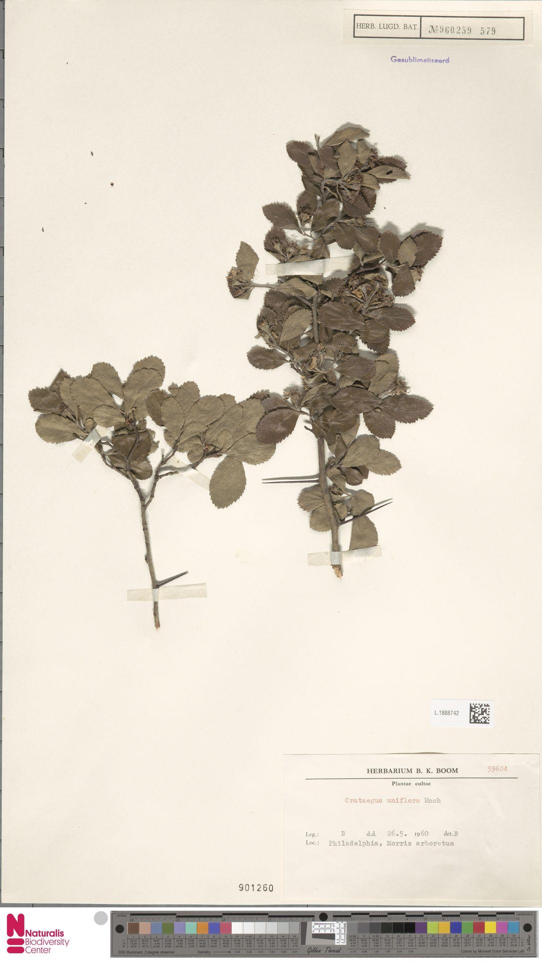 L.1888742 | Crataegus uniflora Münchh.