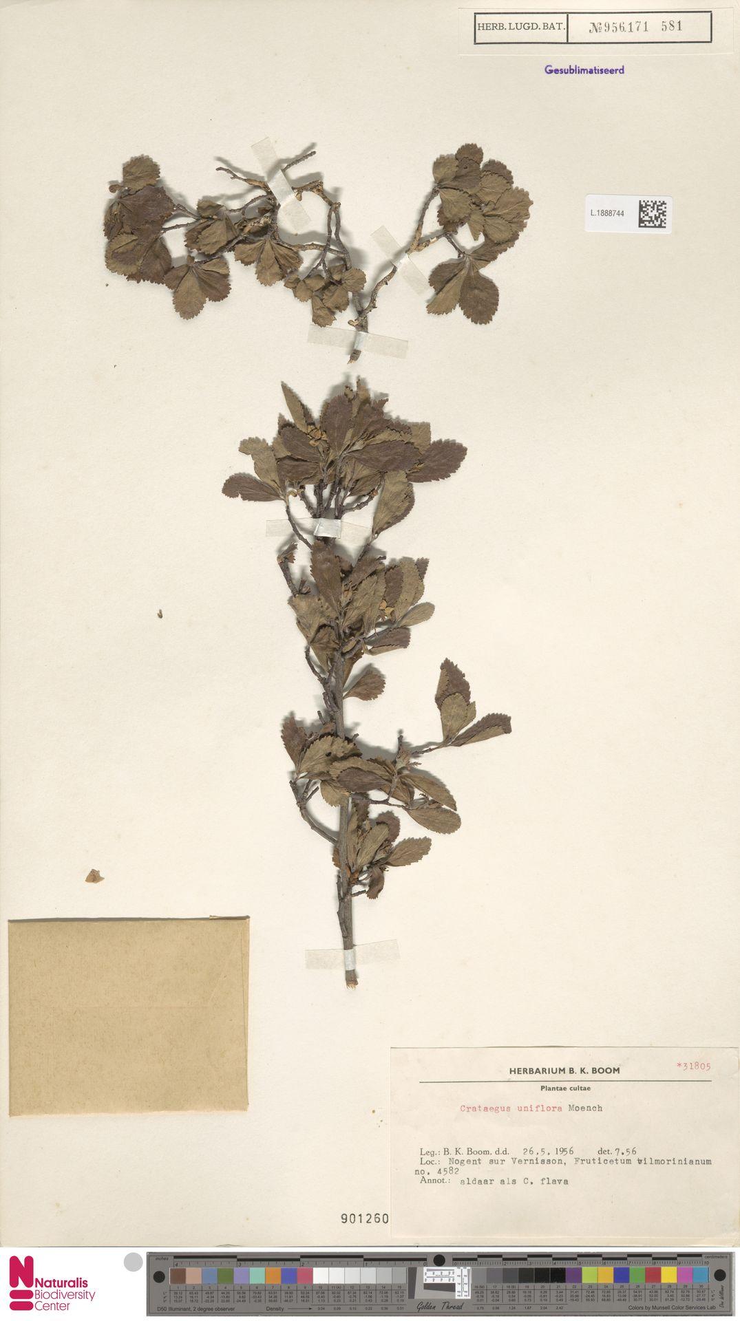 L.1888744 | Crataegus uniflora Münchh.