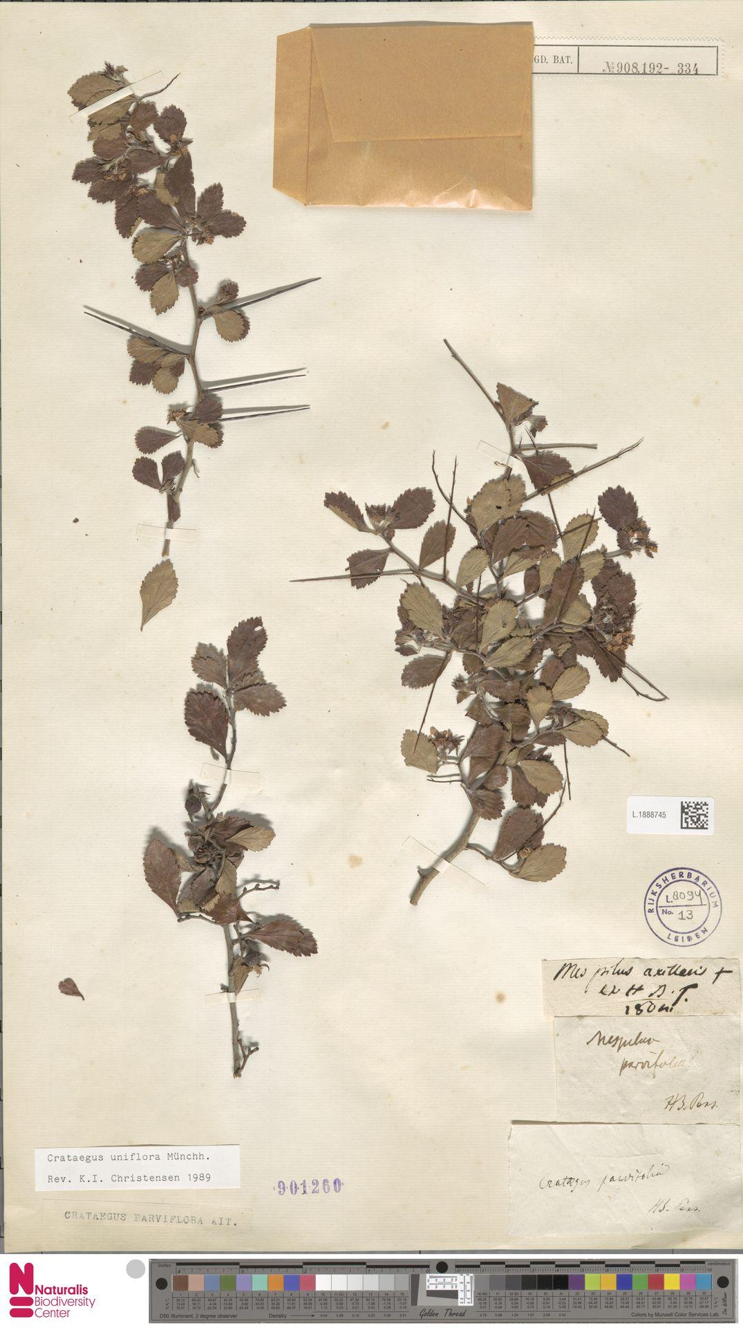 L.1888745 | Crataegus uniflora Münchh.