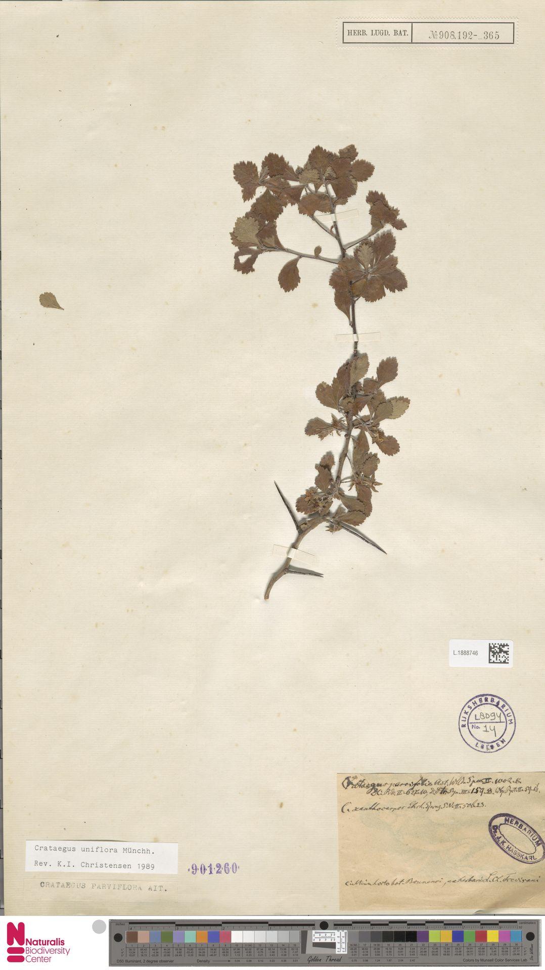 L.1888746 | Crataegus uniflora Münchh.