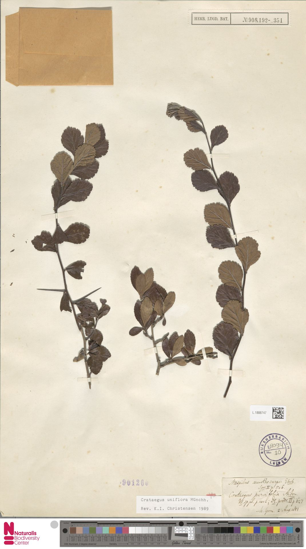 L.1888747   Crataegus uniflora Münchh.