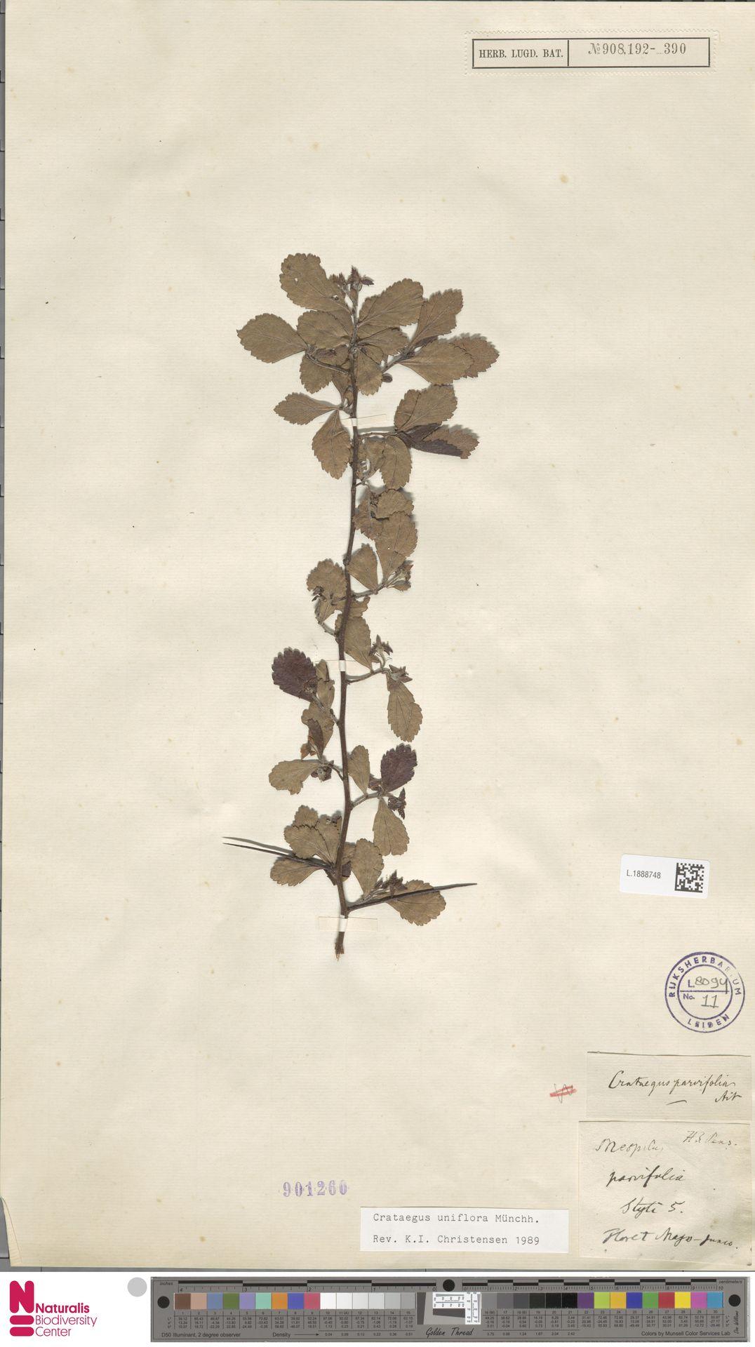 L.1888748   Crataegus uniflora Münchh.