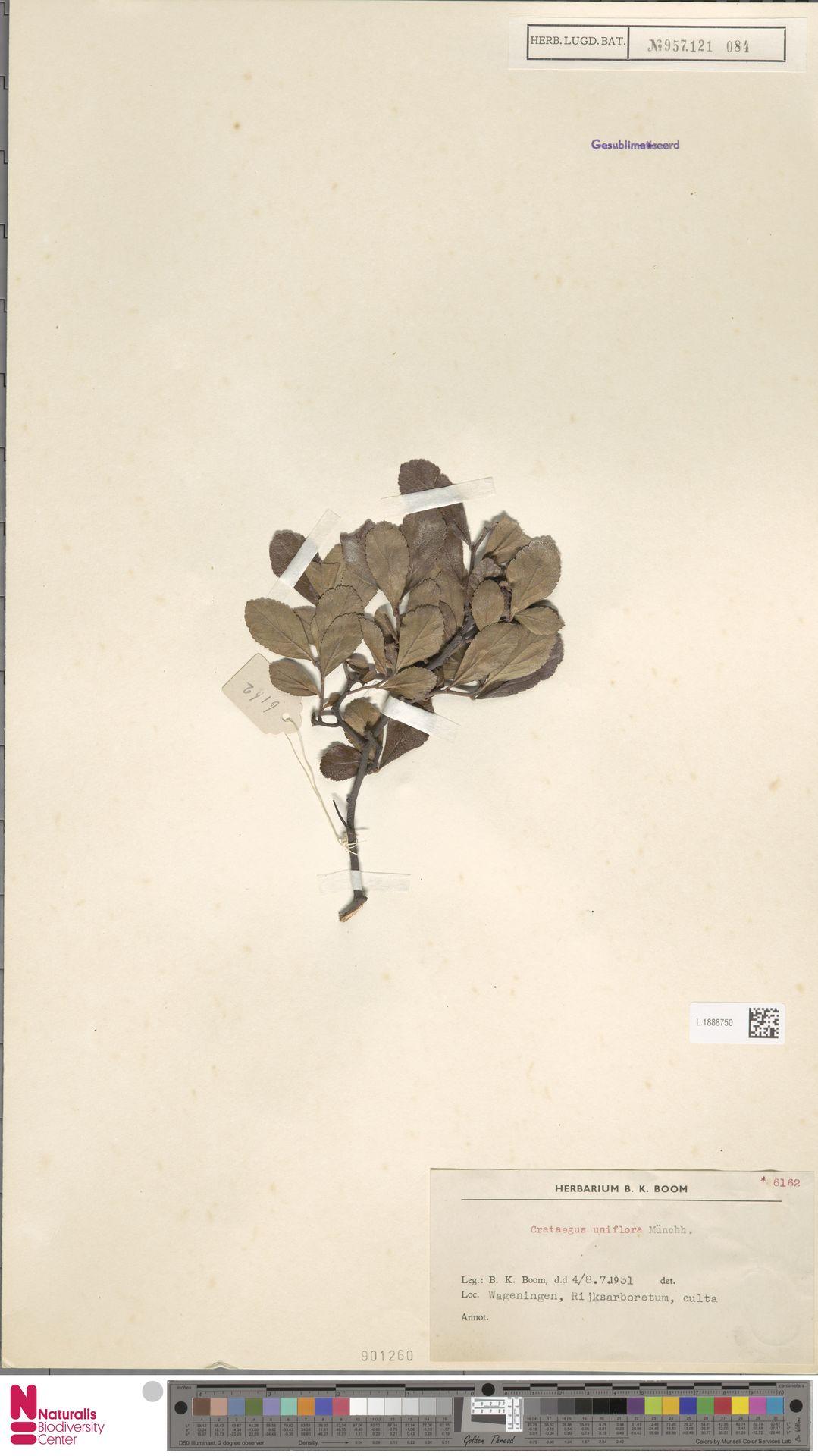 L.1888750 | Crataegus uniflora Münchh.