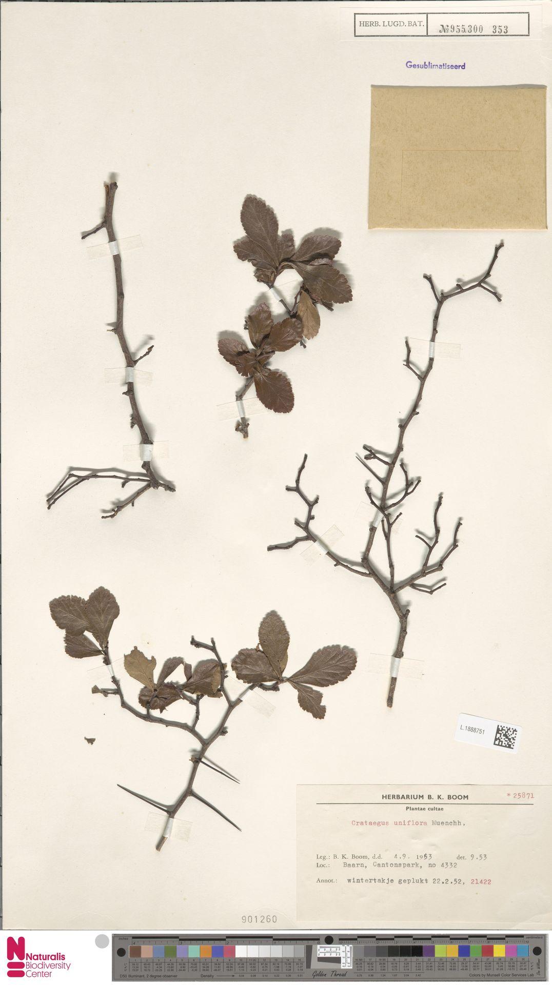 L.1888751 | Crataegus uniflora Münchh.