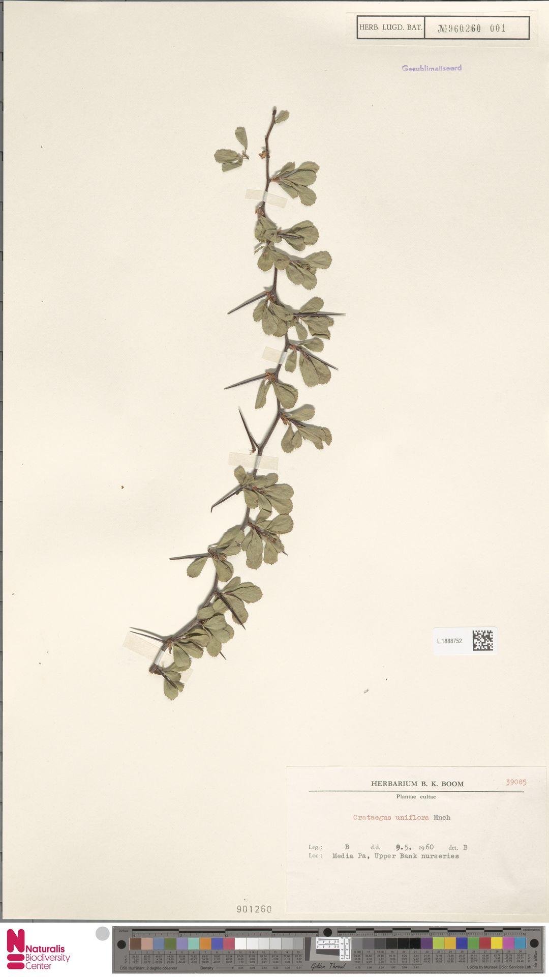 L.1888752 | Crataegus uniflora Münchh.