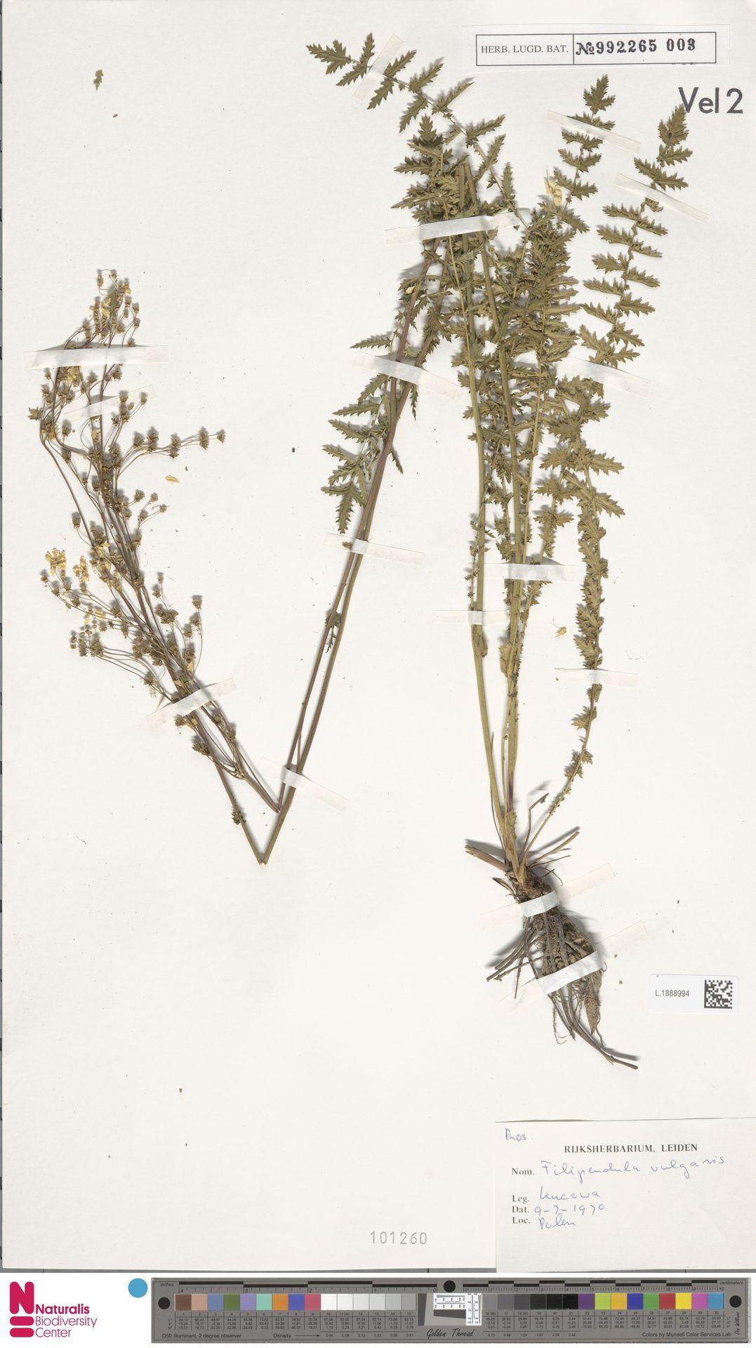 L.1888994 | Filipendula vulgaris Moench